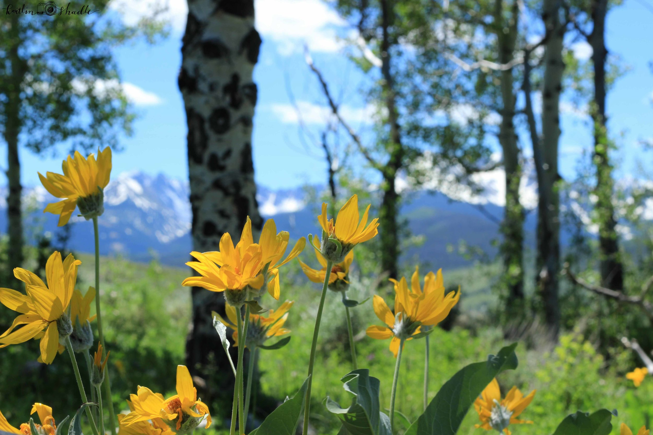 yellow flowers and the rockies