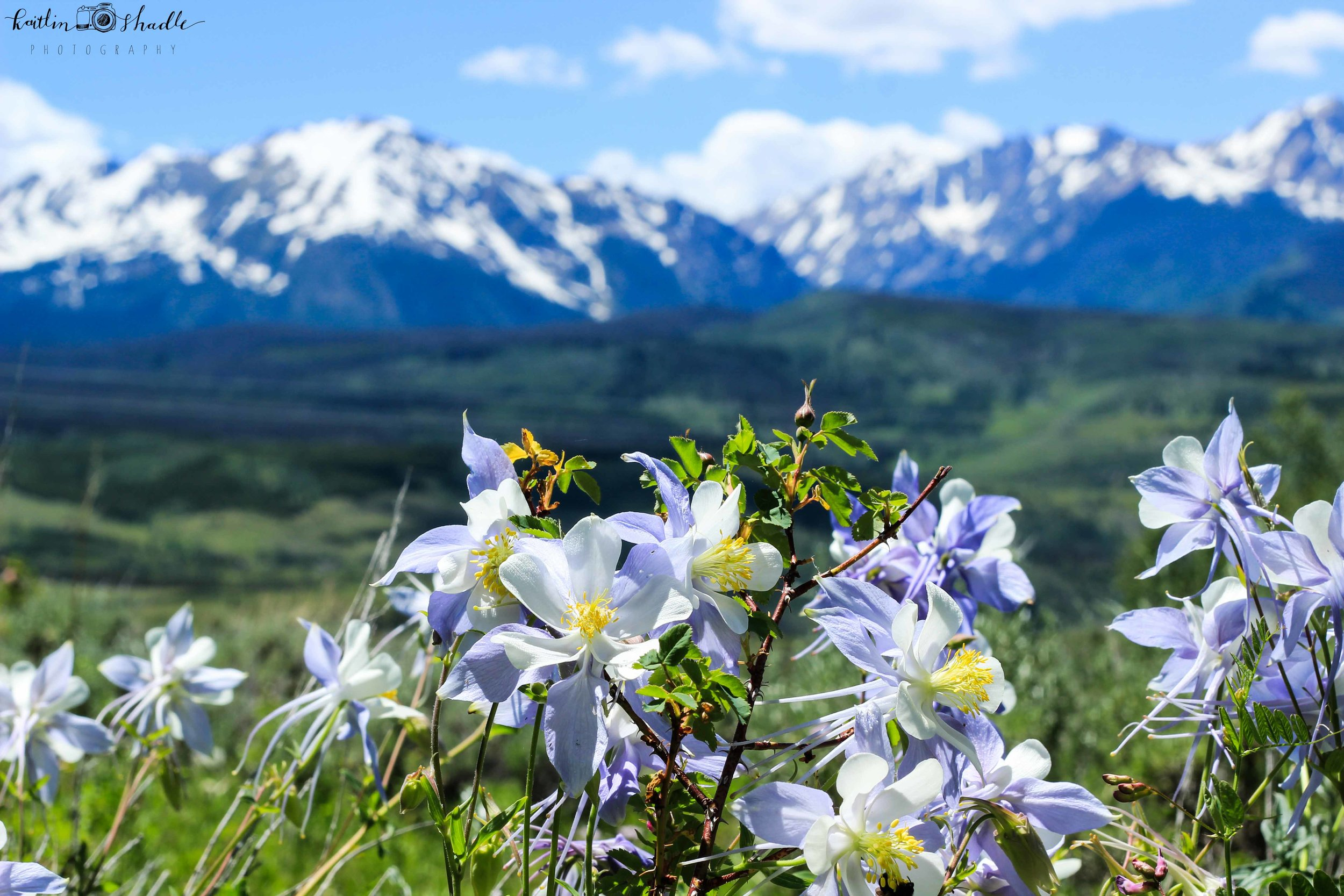 Columbines in front of the Rockies