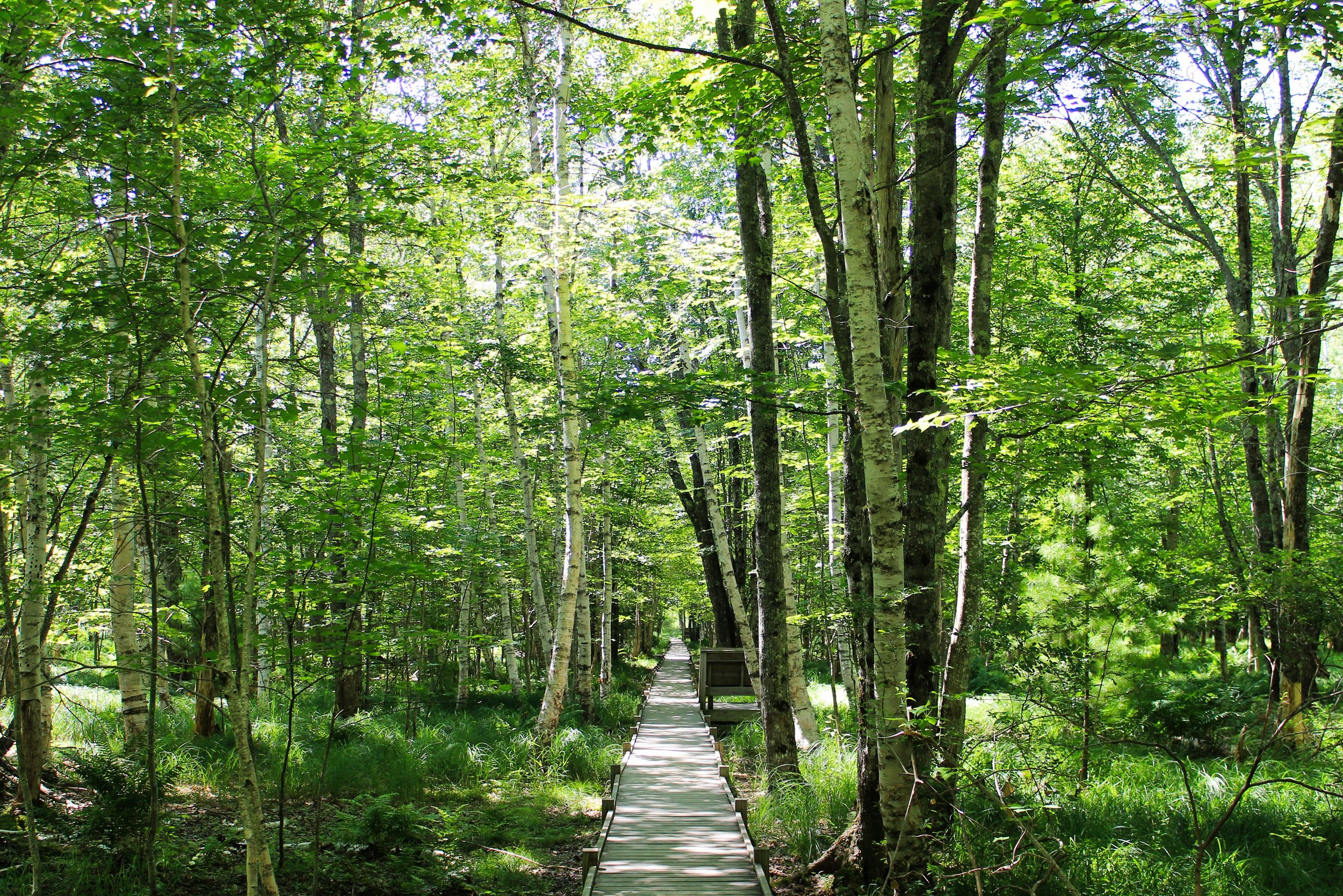 Birch Trees and the Boardwalk Path