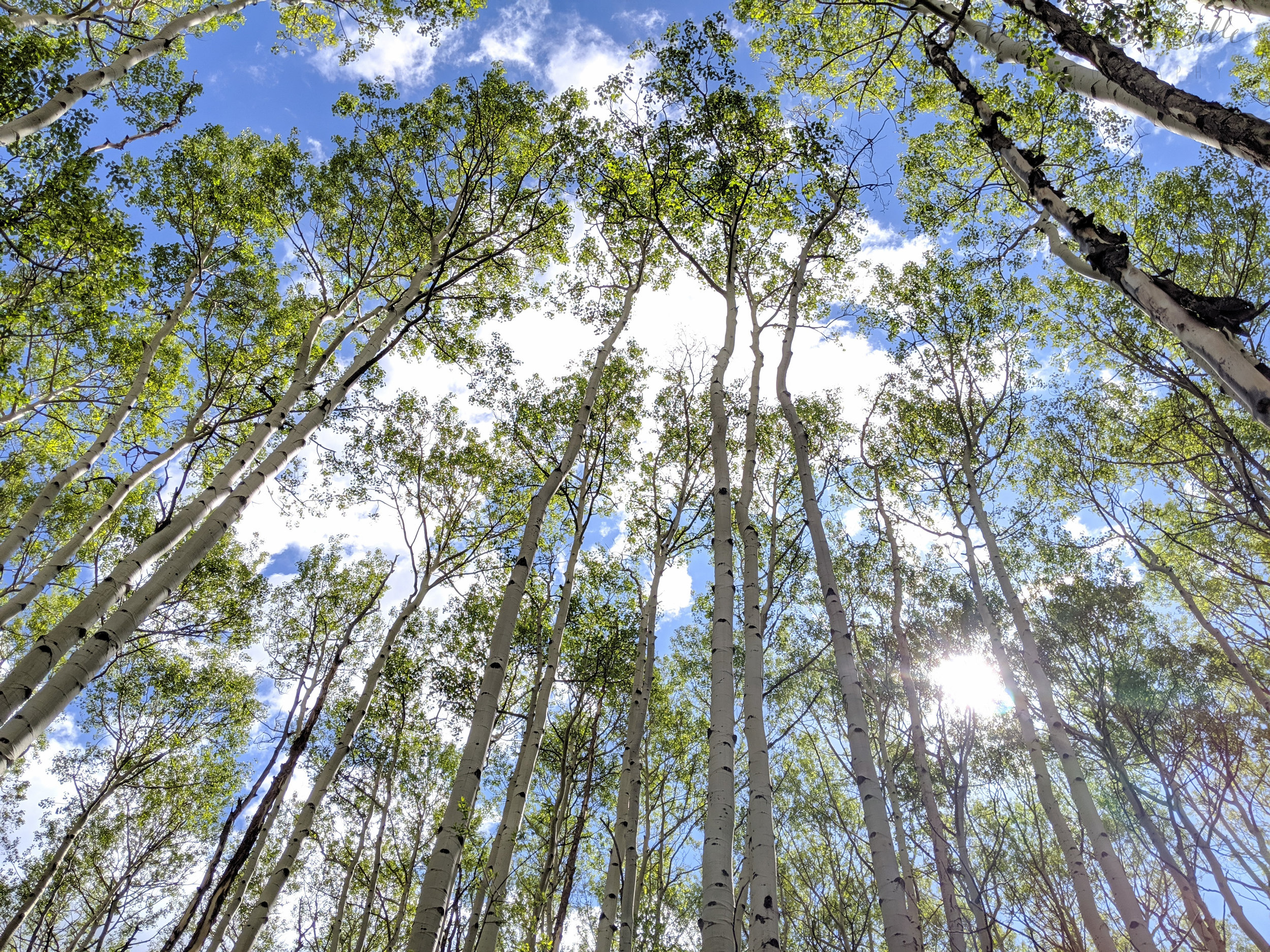 Look Up (Aspens)