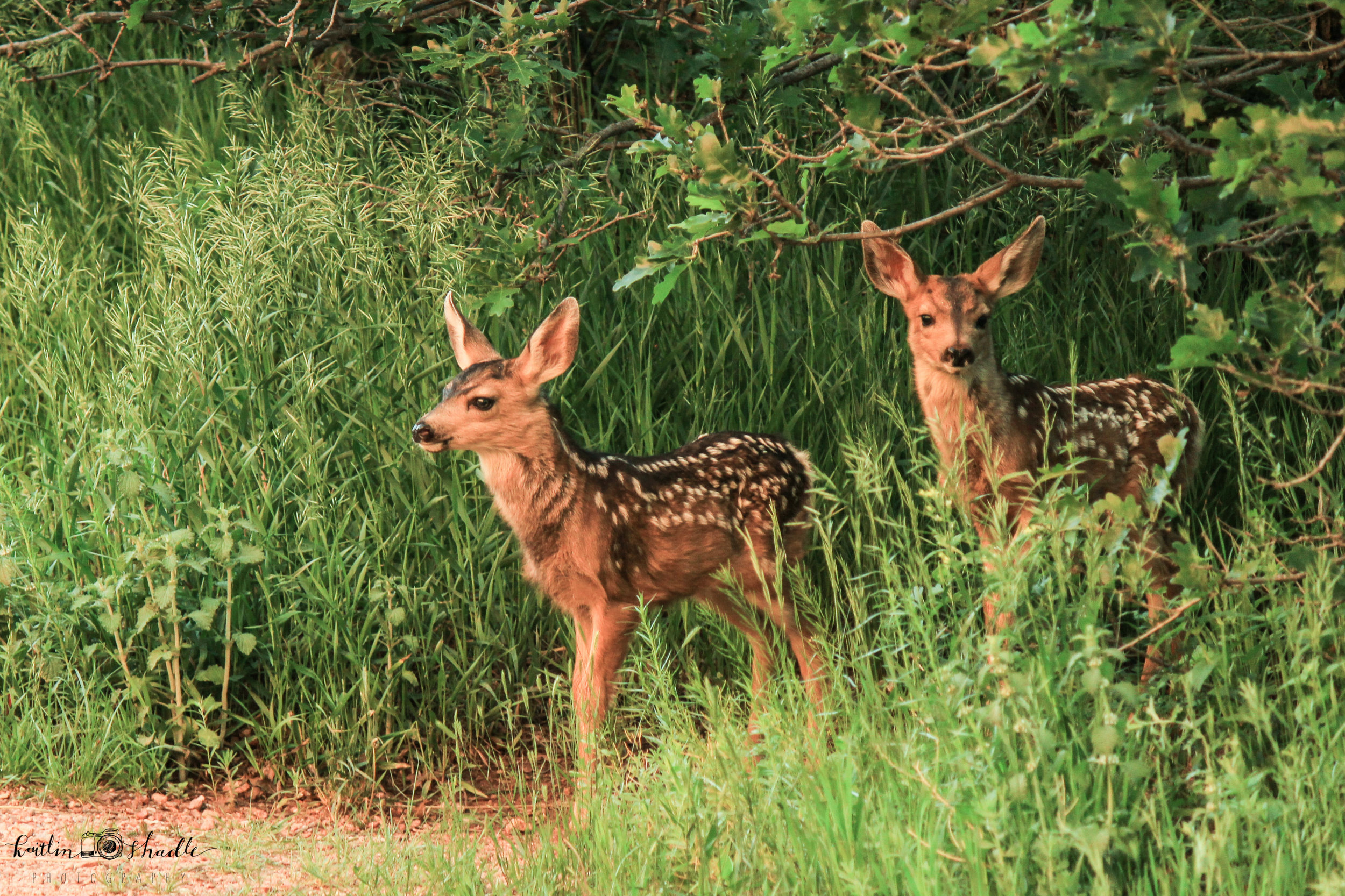 The Fawns