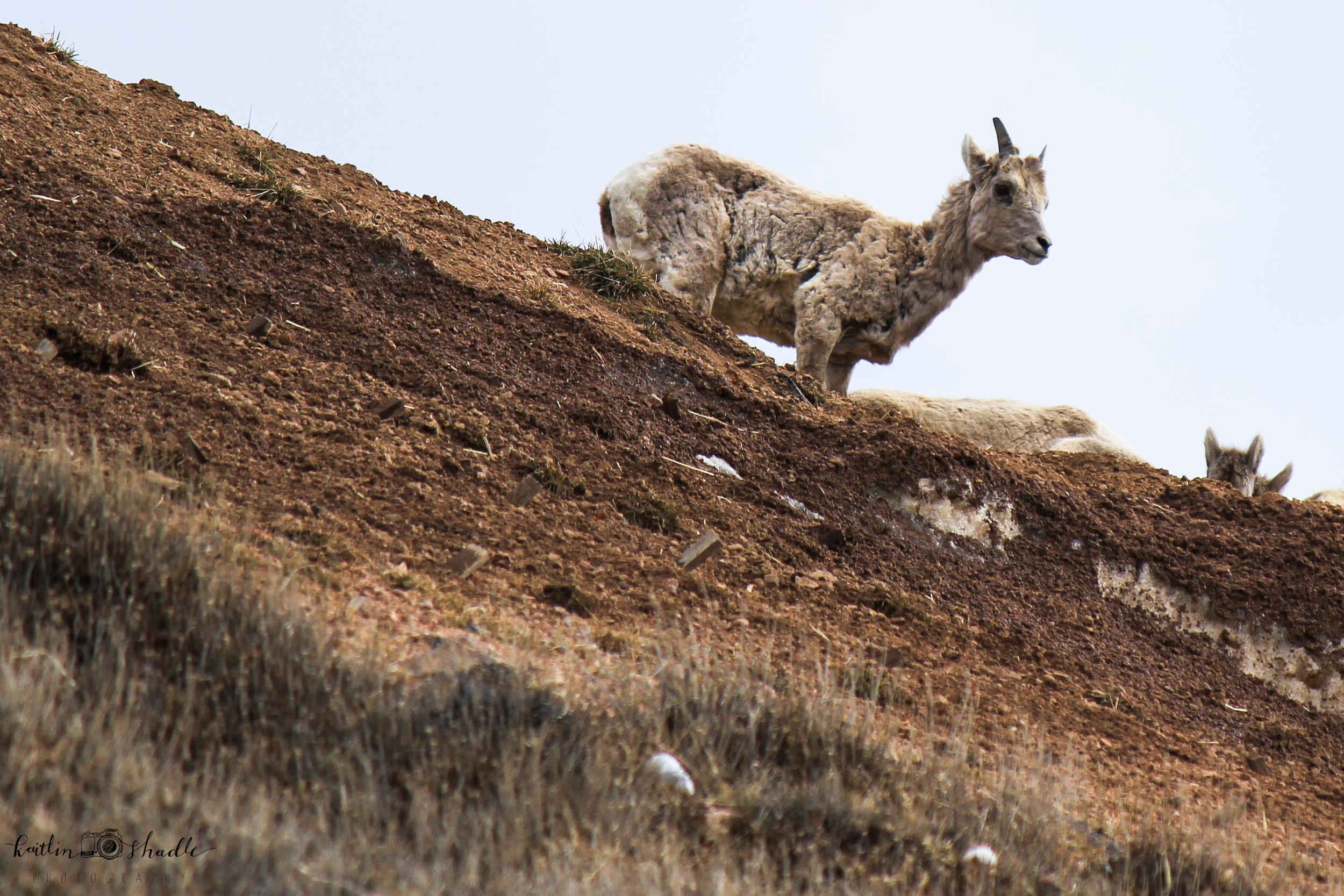 Bighorn Sheep Above