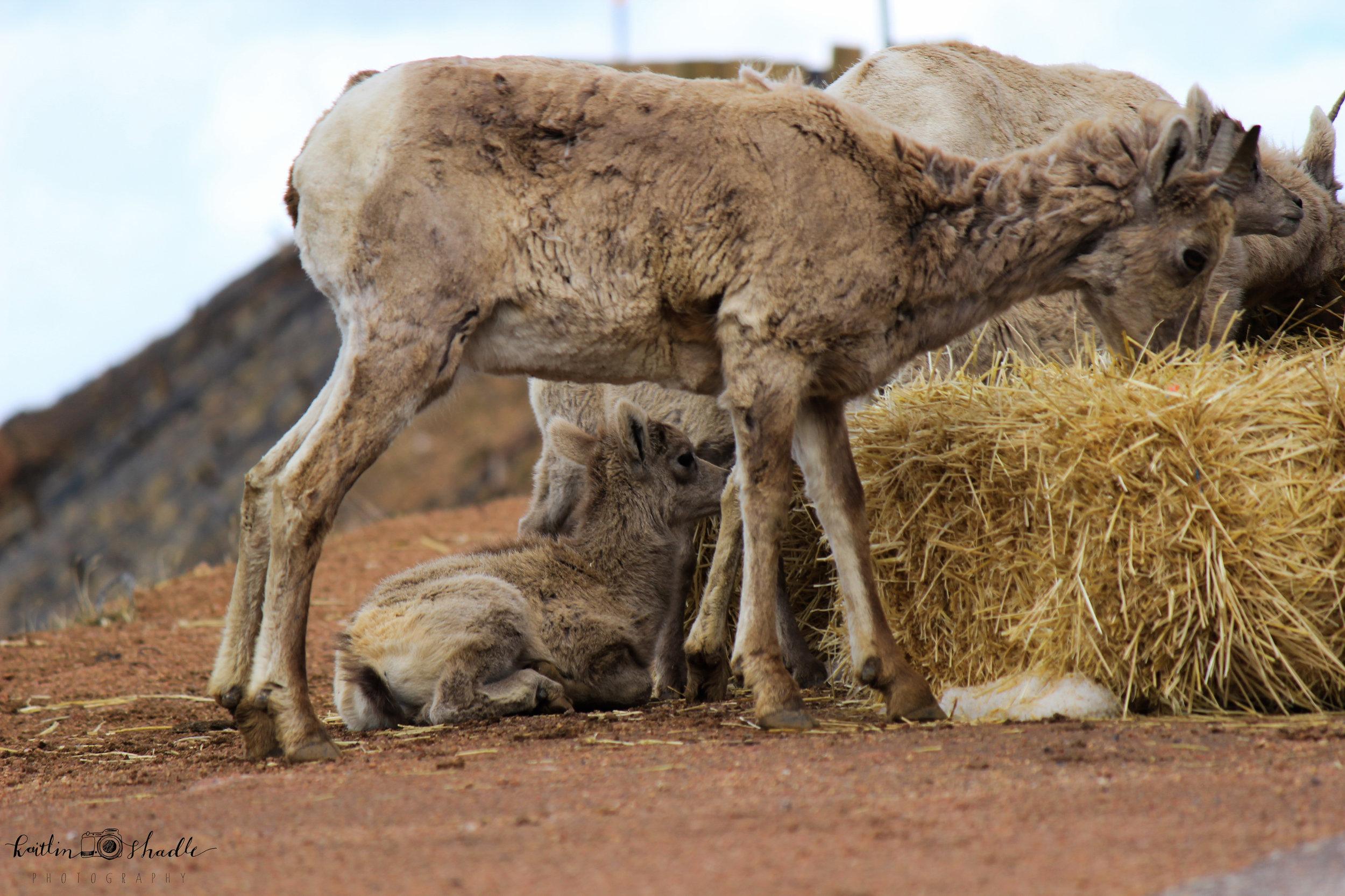 Bighorn Sheep Baby (lamb?)