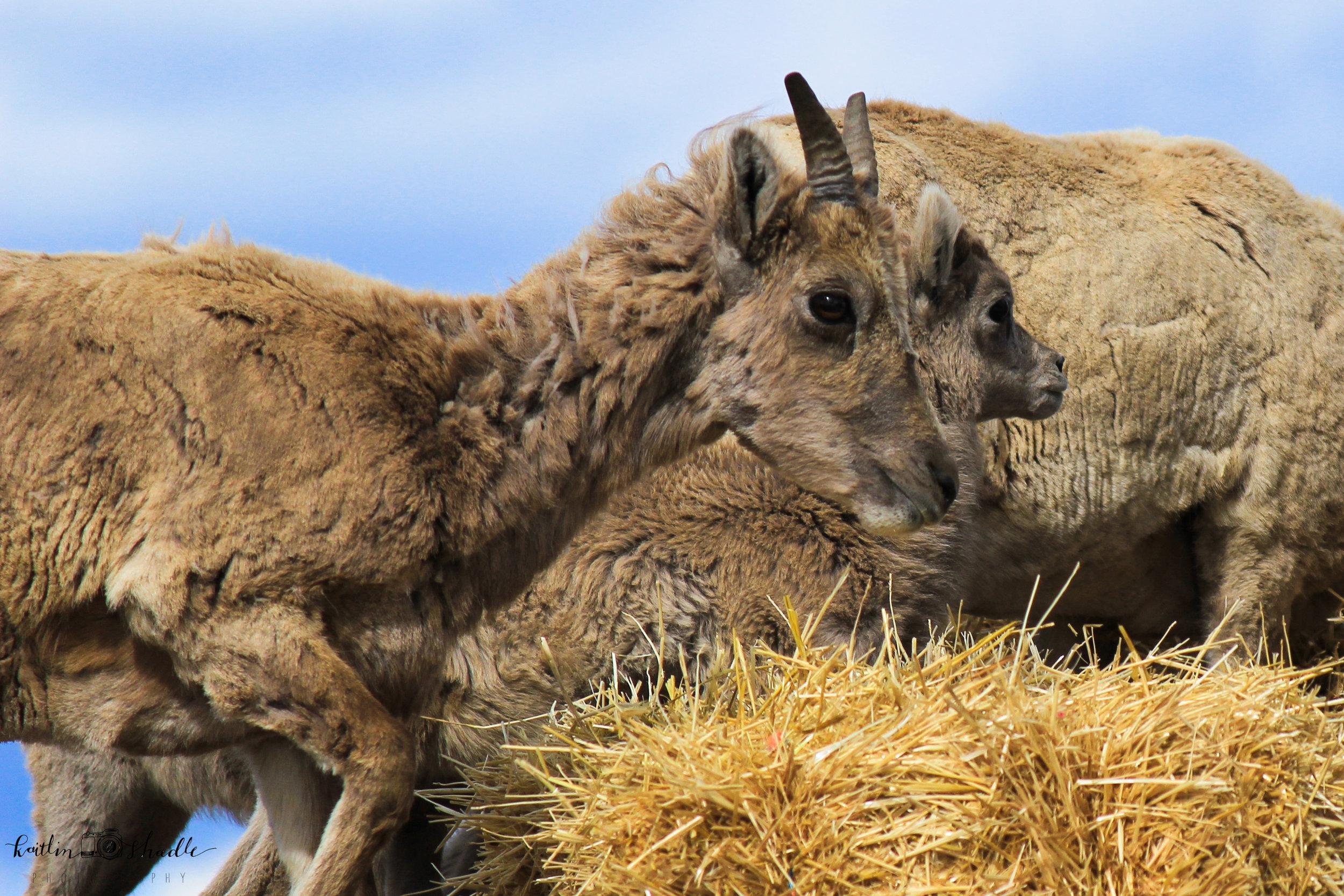Bighorn Sheep 3