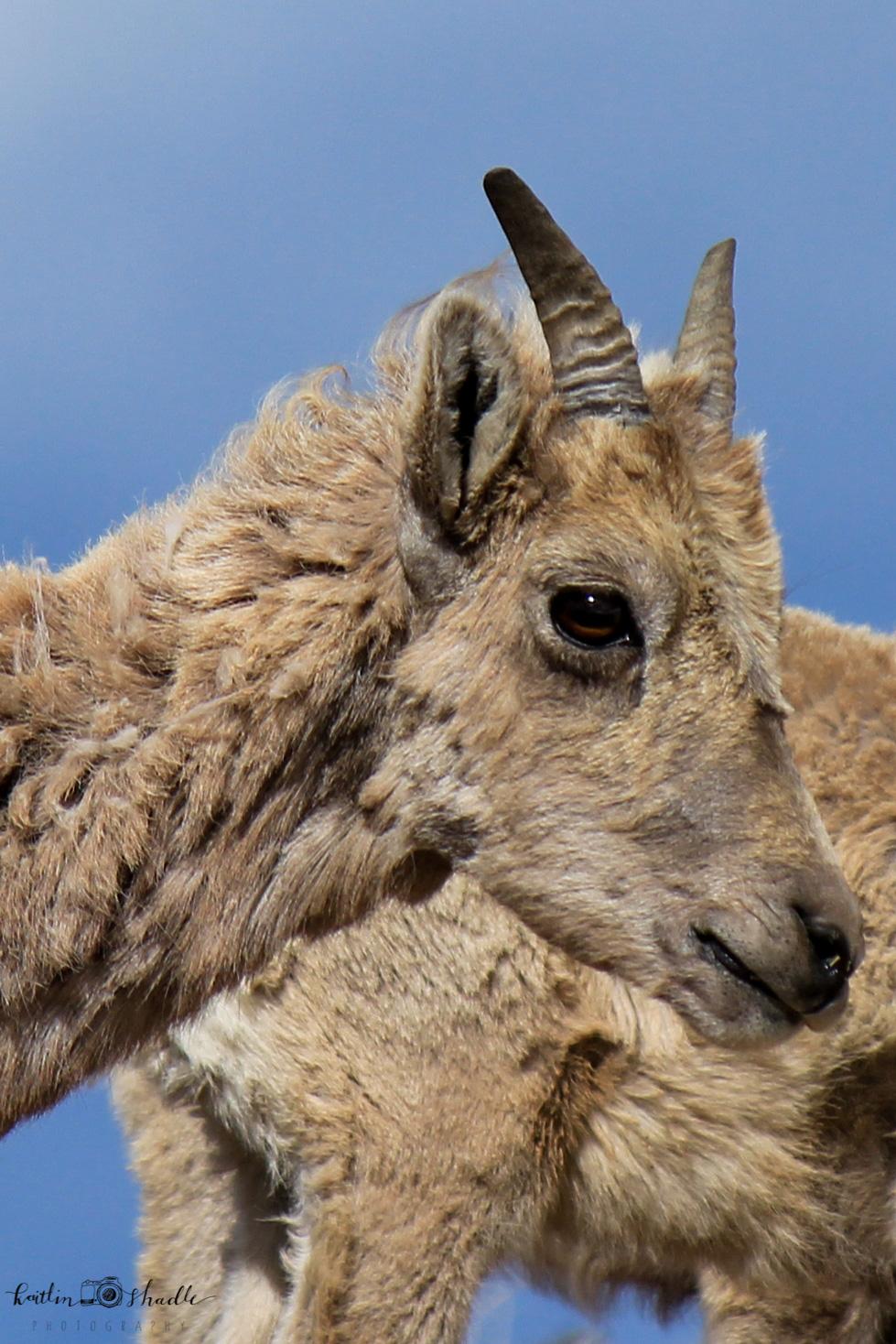 Bighorn Sheep Profile