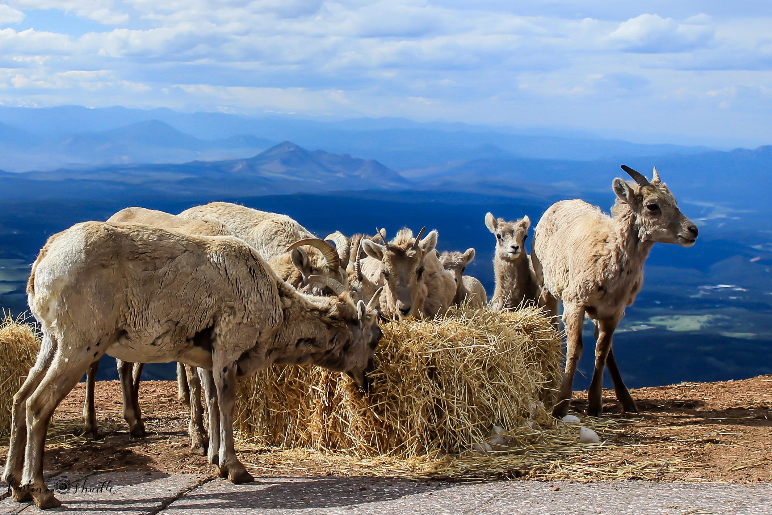Bighorn Sheep 1