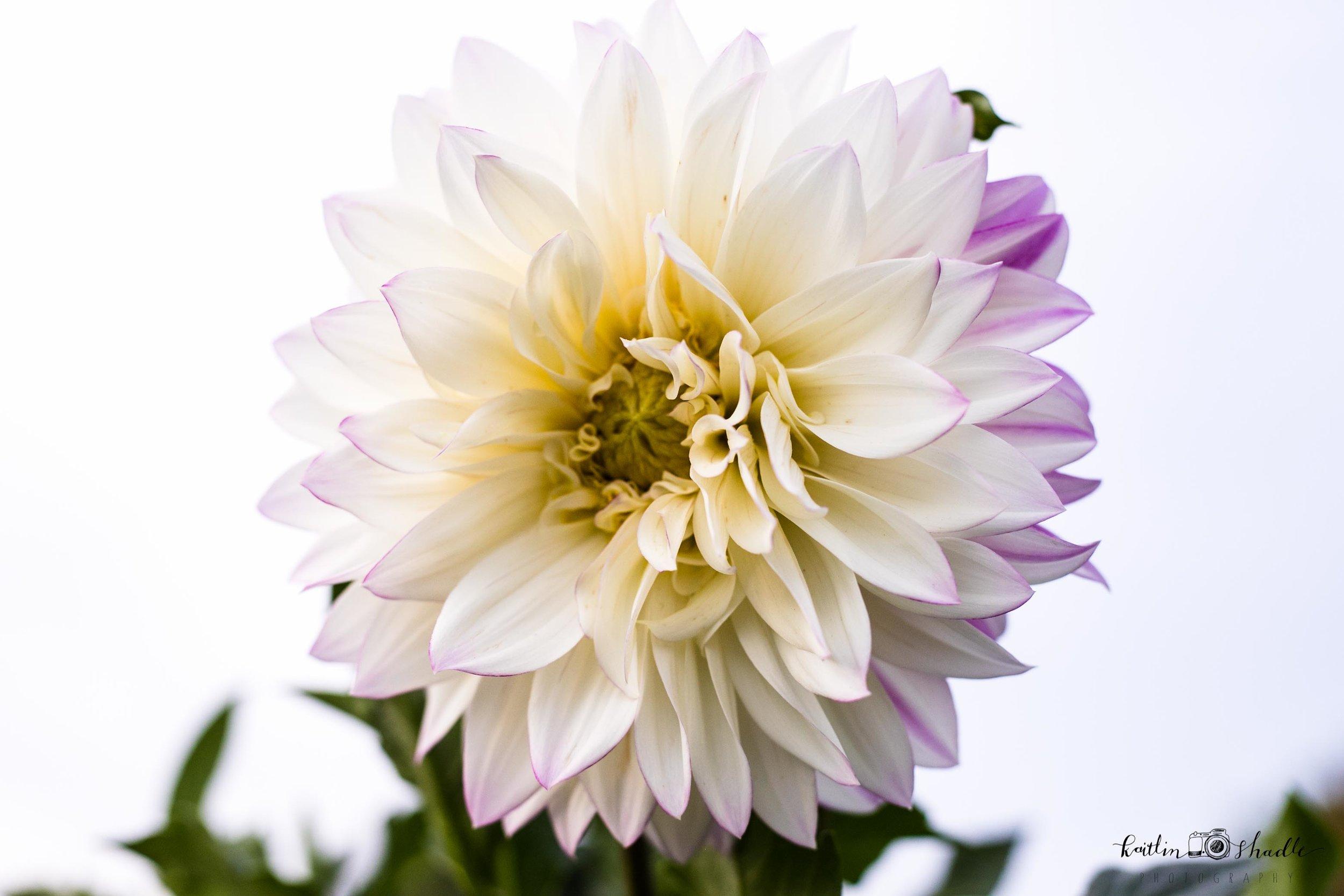 White and Purple Dahlia