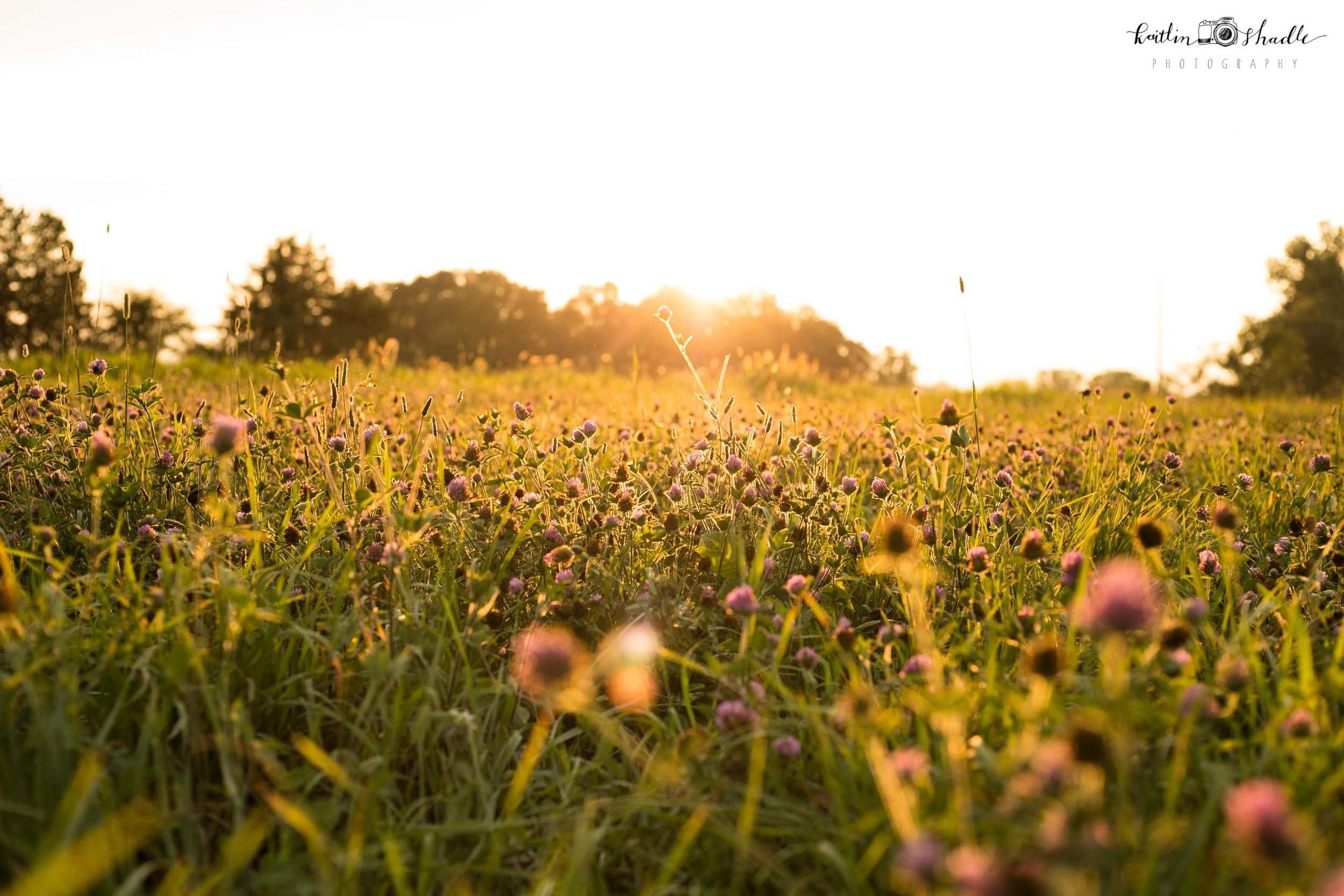 Clover Field at the Golden Hour
