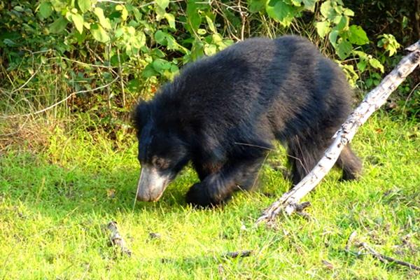 Coati, belongs to the family of bears...