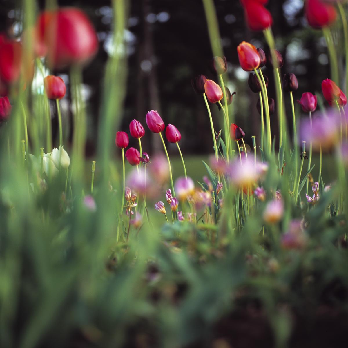 Tulips_1_15.jpg
