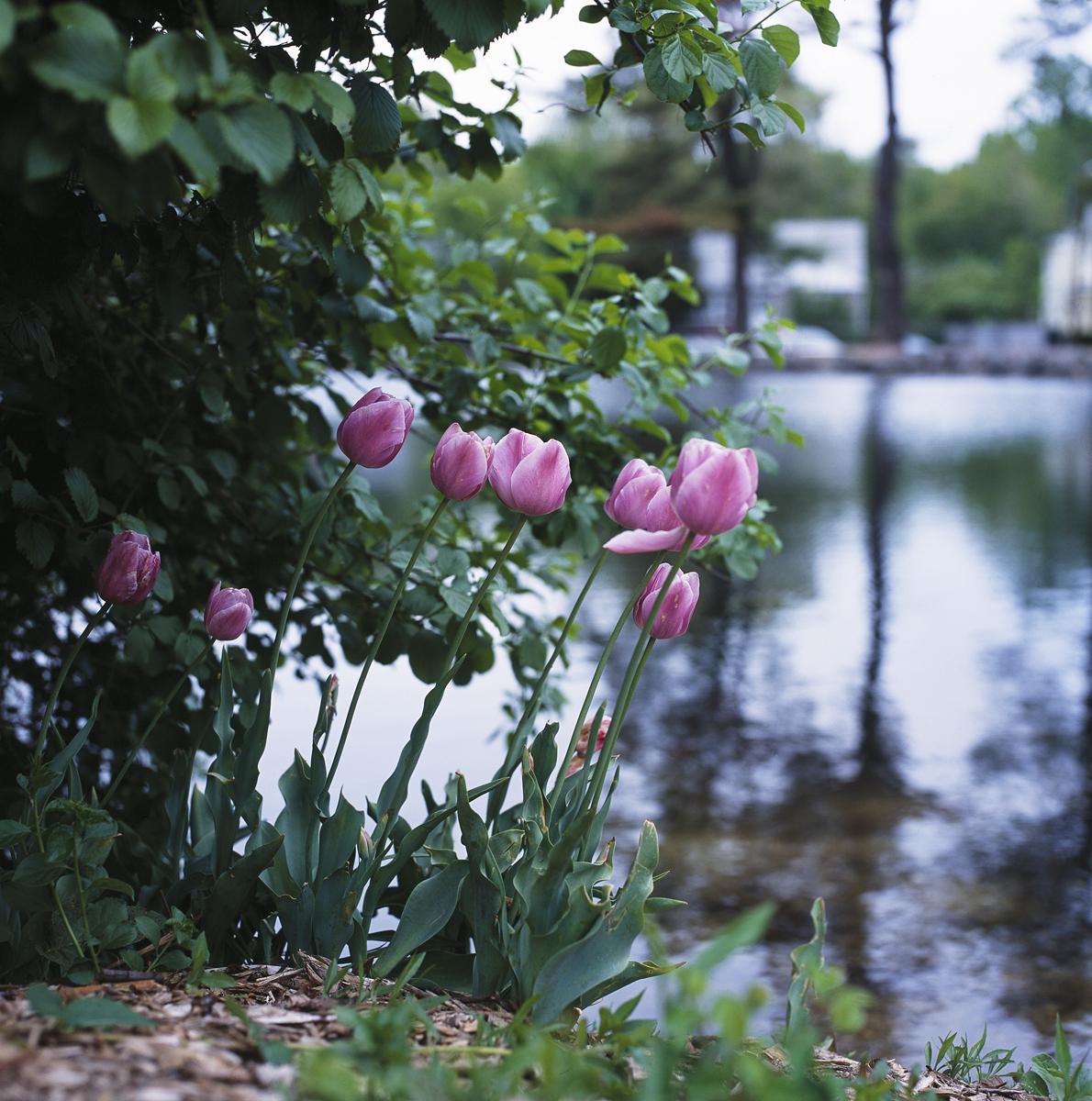 Tulips_1_Huntington_curves.jpg