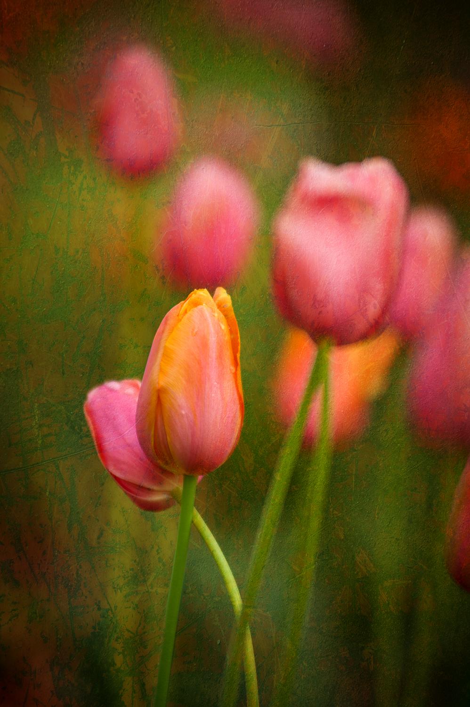 Tulips 12 (1 of 1) copy.jpg