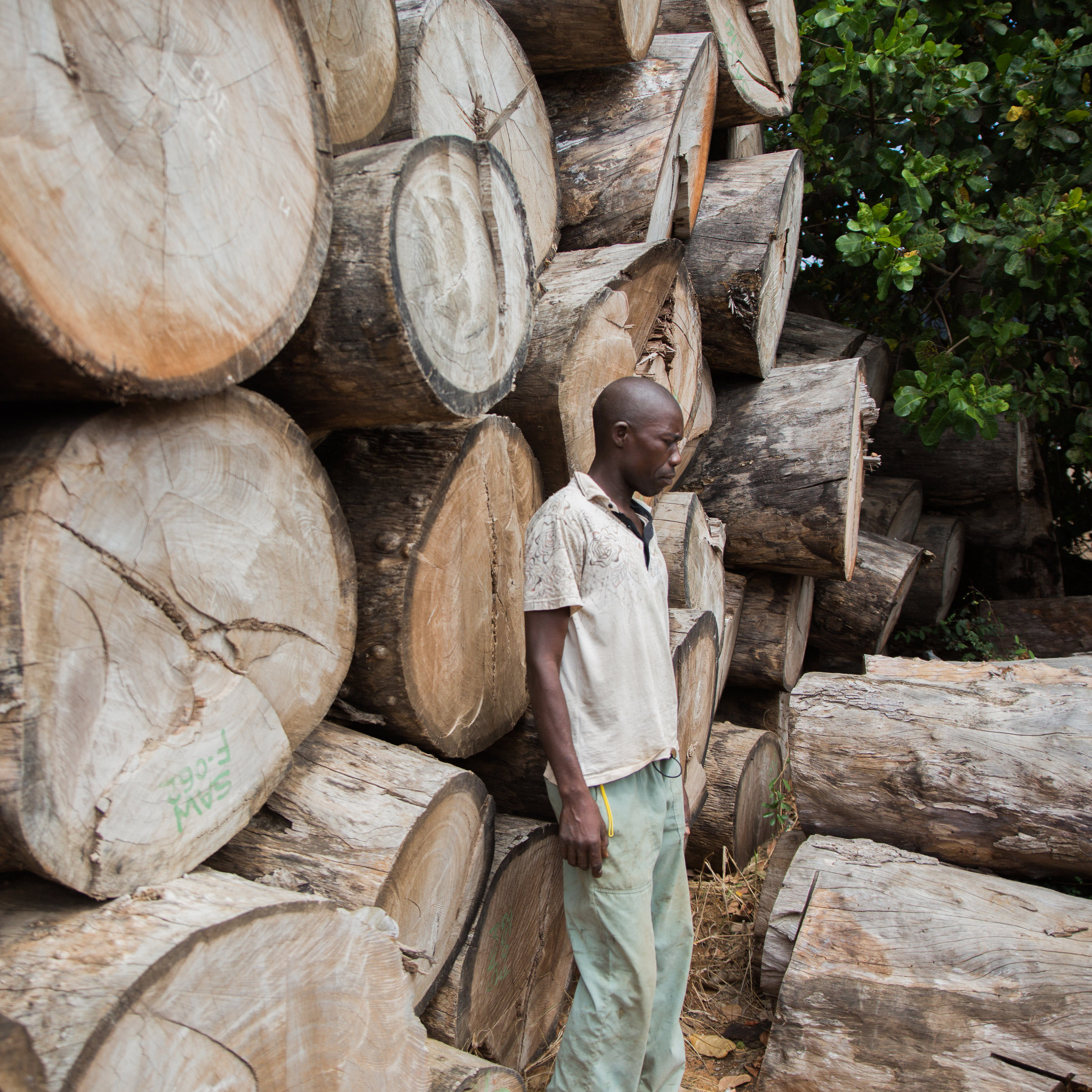Chanfuta Timber    A variety of Mozambican hardwood timber has been locally sourced from our timber concession including Umbila, Jambire, Pau Preto and Chanfuta  [  Afzelia Quansensis] , pictured. 90% of the timber logged in Mozambique is exported to China, however the industry has come under increasing pressure due to illegal and undocumented groups exporting timber to the detriment of the country. Our sustainable approach to the use of timber mandates that for every tree used in our construction, another ten trees are planted.