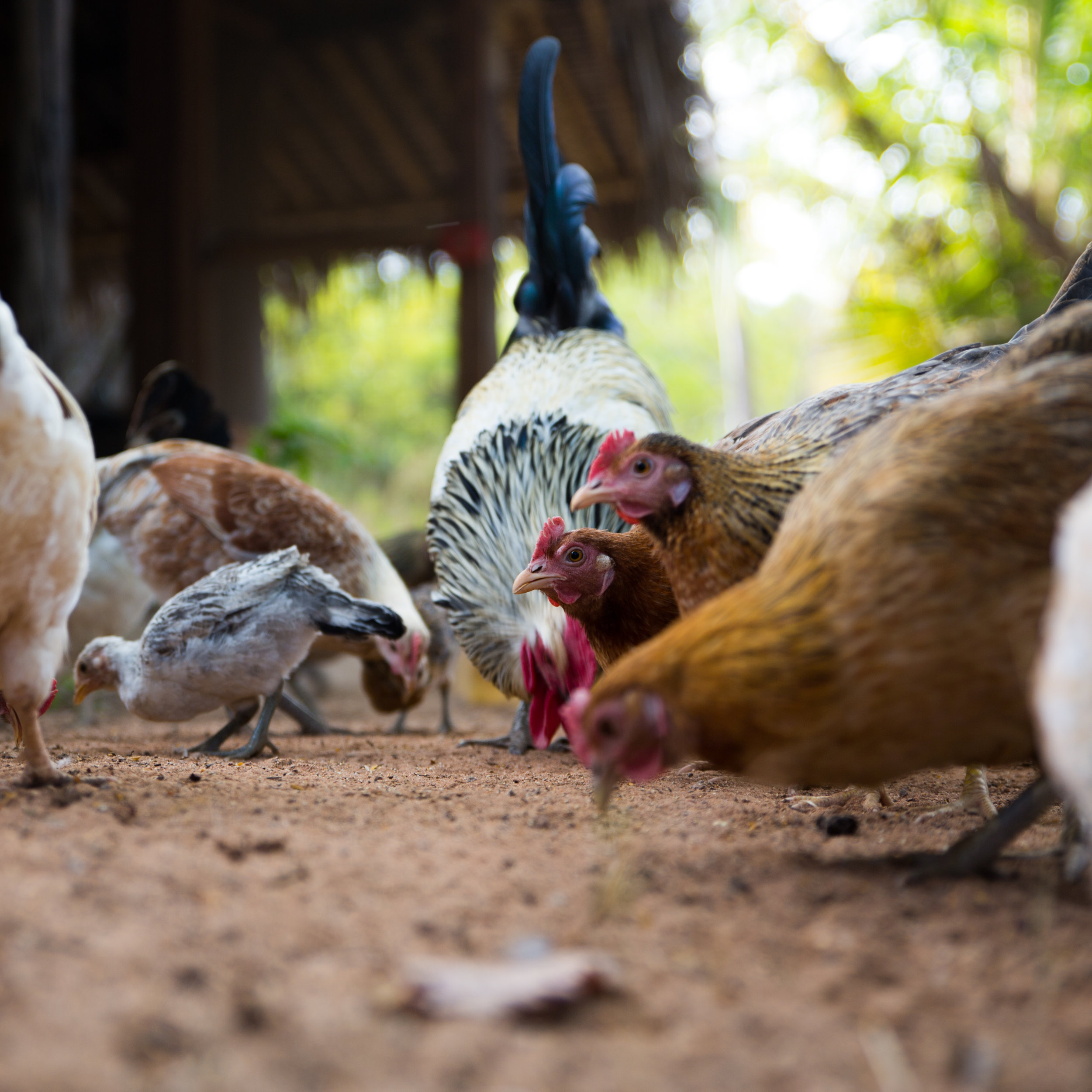 Chickens   We breed a 'village' variety of chicken renowned for their full flavour and lean tender meat. They are fed a diet of whole grains and greens from the garden, and are regularly rotated through the nursery where they scratch and forage their way to healthier soil.