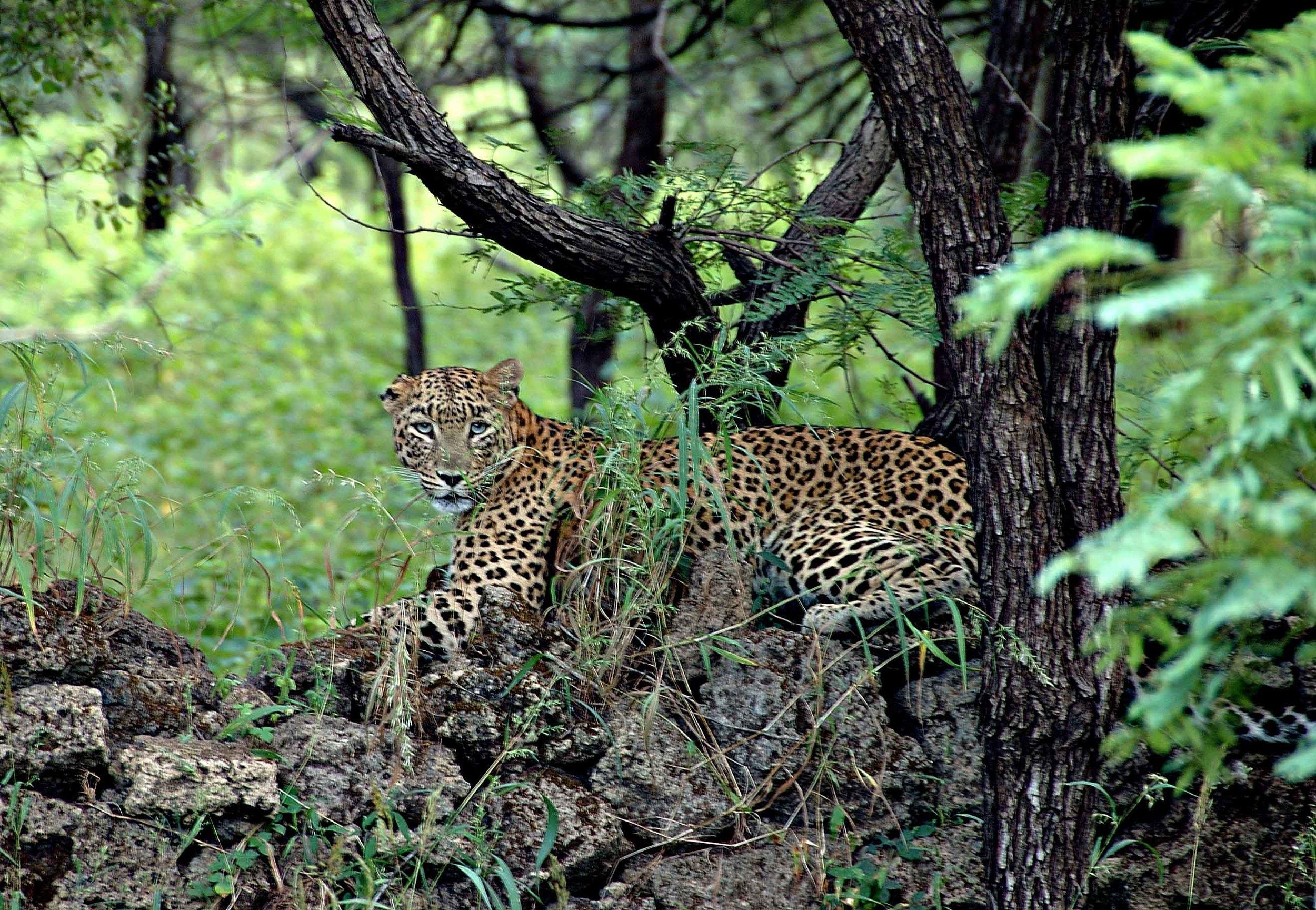 leopard-gir-edmund-knoll.jpg