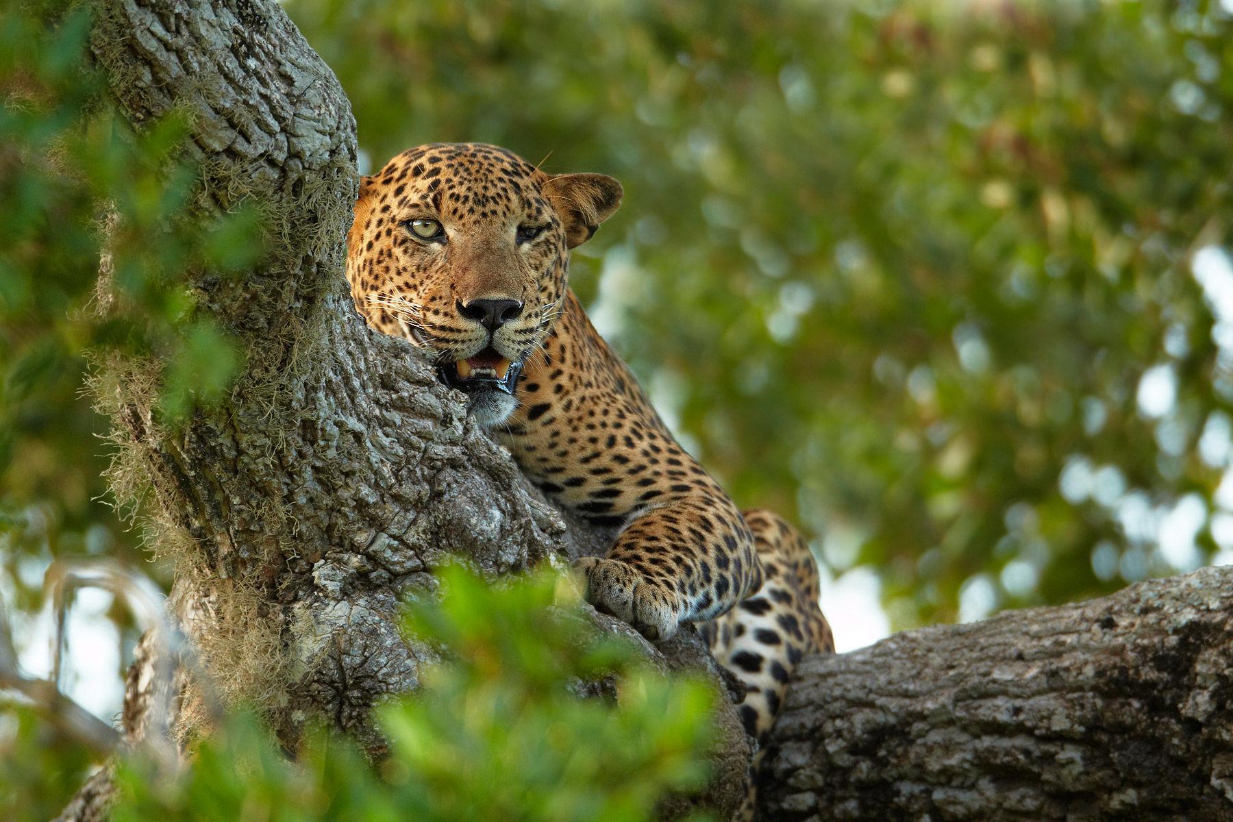 Wil - Leopard.jpg