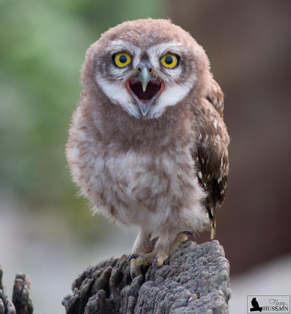 Spotted++Owlet+-+Kaziranga.jpg