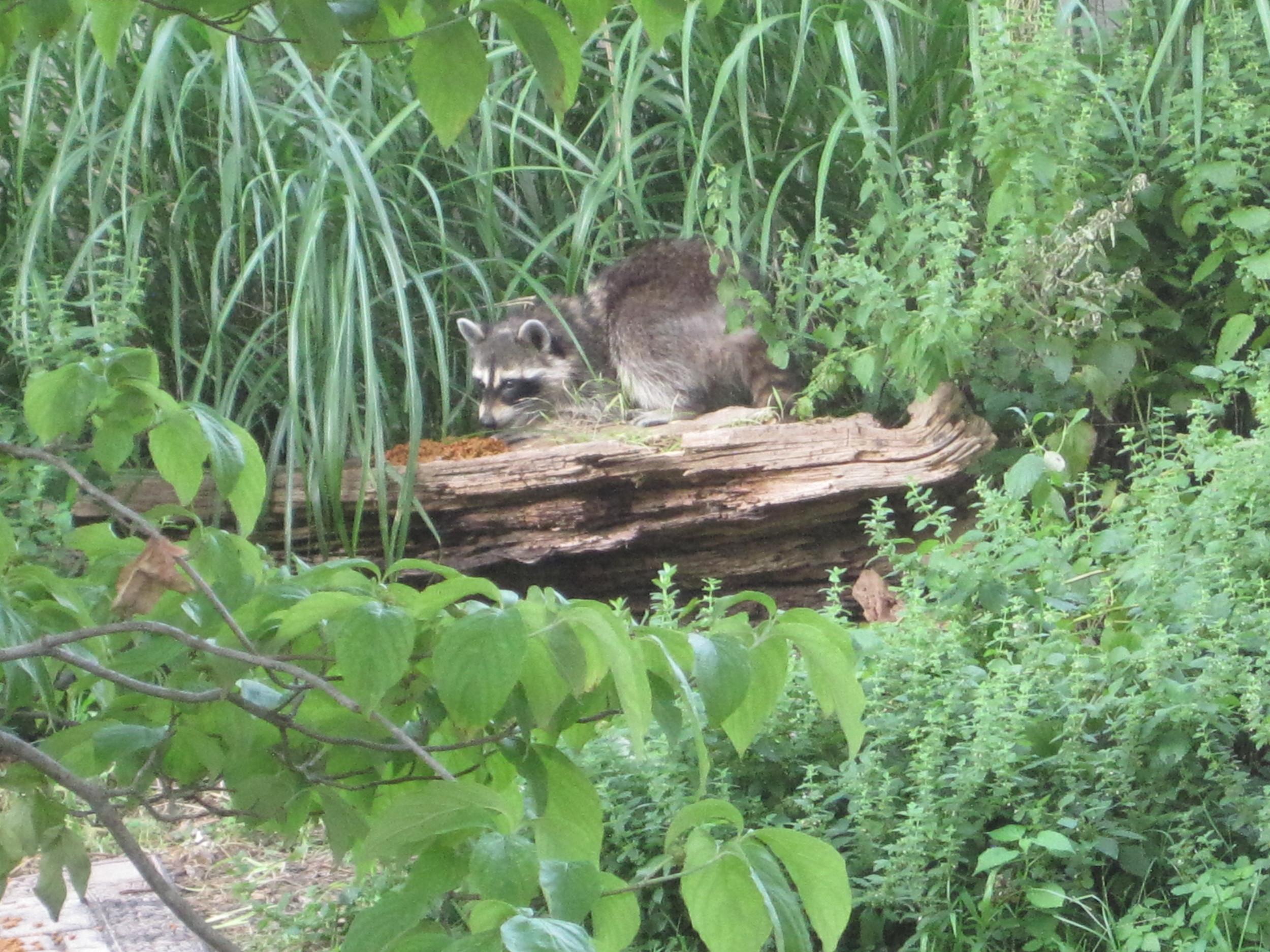 Raccoon family Jun, 2011 (3).jpg