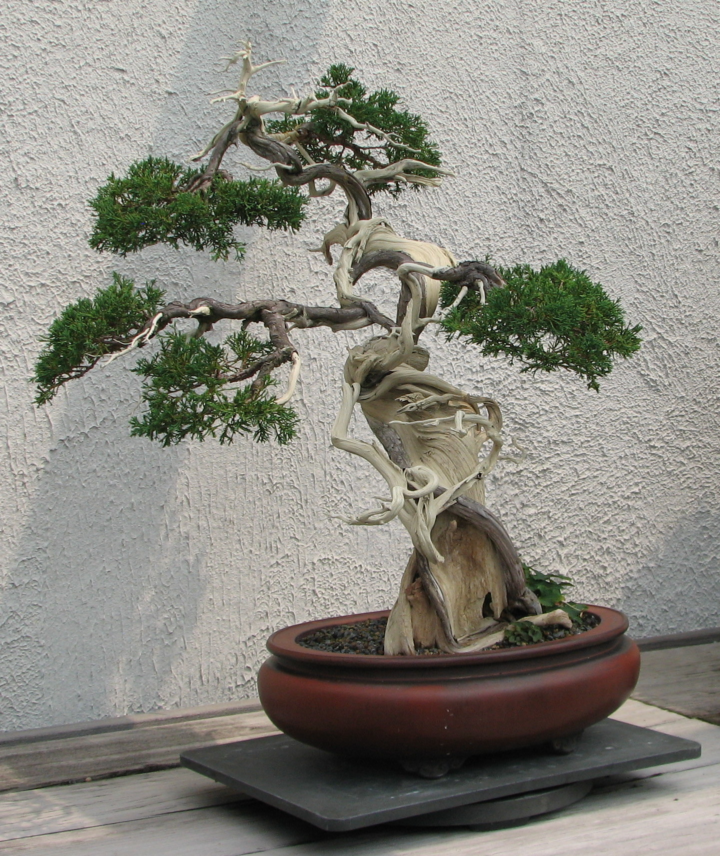 """Sargent Juniper, 1905-2007"" by Ragesoss - Own work. Licensed under CC BY-SA 3.0 via Wikimedia Commons"