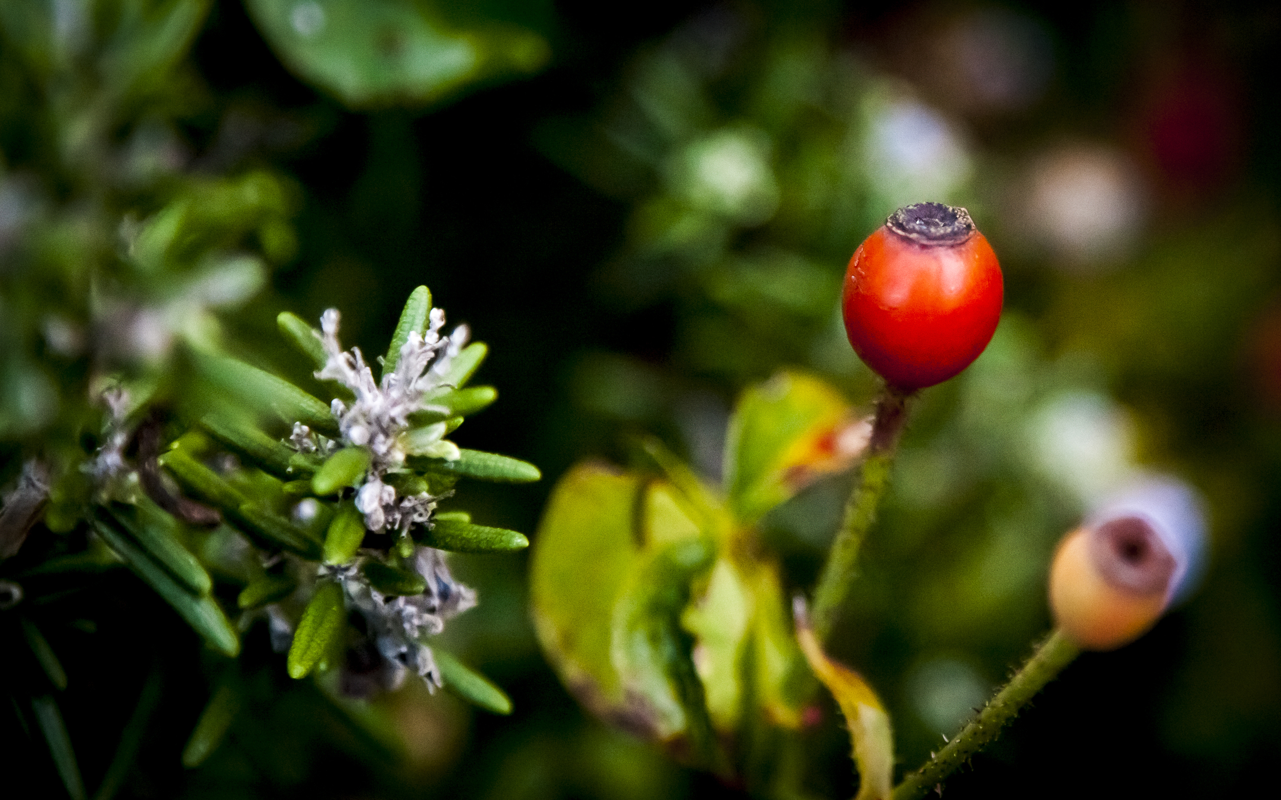 Blue Rosemary flower and Red Rose Hip -- Almaden Valley -- San Jose, California