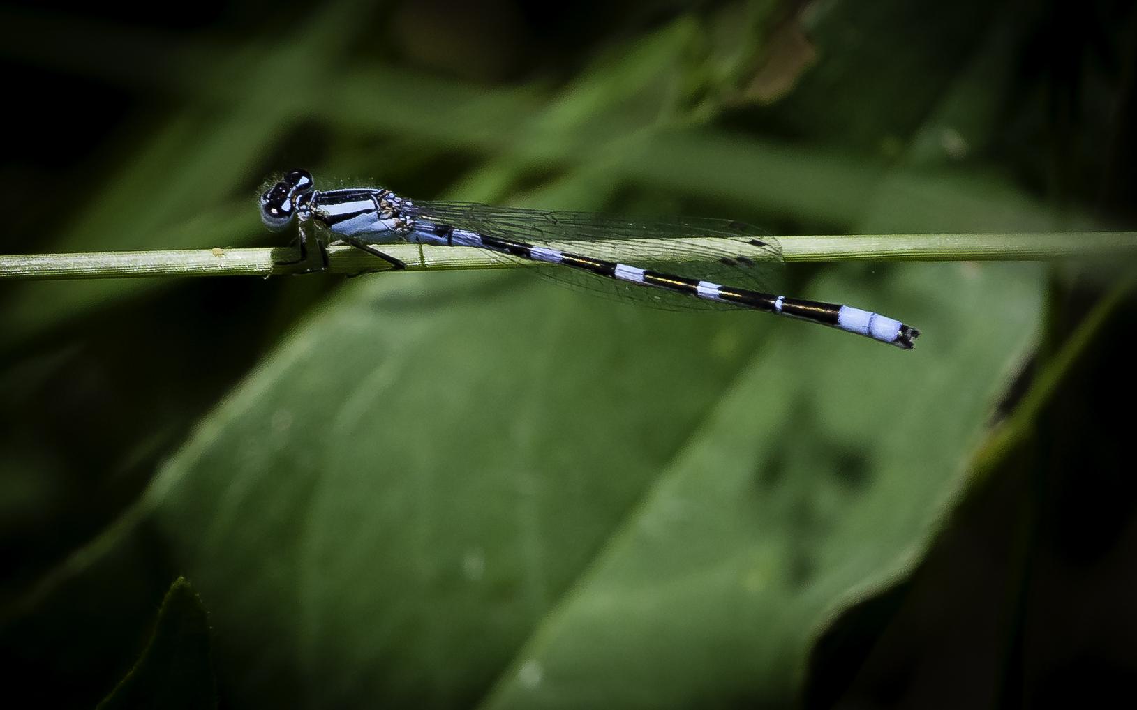 Common Blue Damselfly.jpg