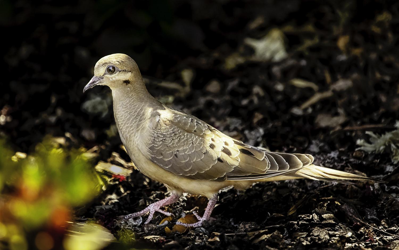 Mourning Dove  -- My Back Yard -- San Jose, California