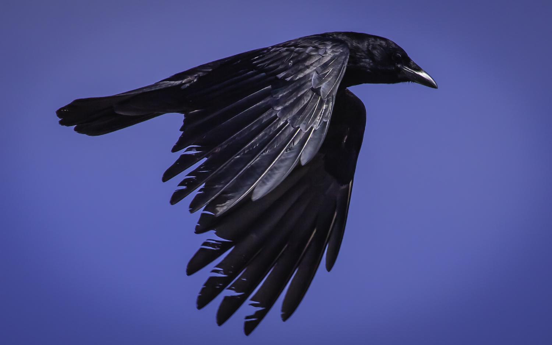 Common Crow -- Asilomar State Beach, Pacific Grove, California