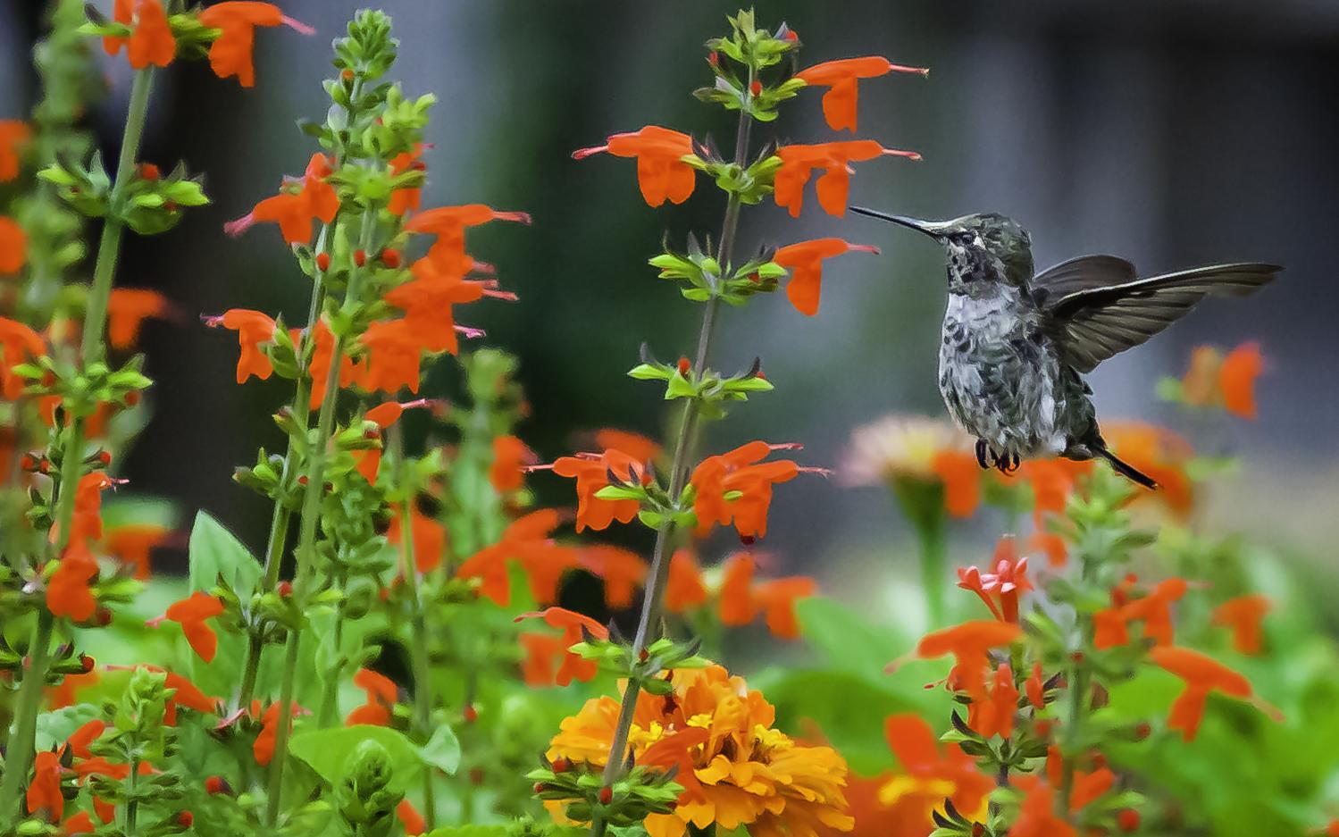 Anna's Hummingbird Fledgeling Feeding On Salvia -- My Back Yard, San Jose, California