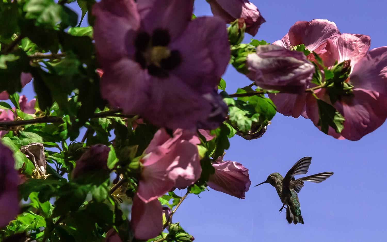 Anna's Hummingbird Feeding On Rose of Sharon  -- My Backyard, San Jose, California
