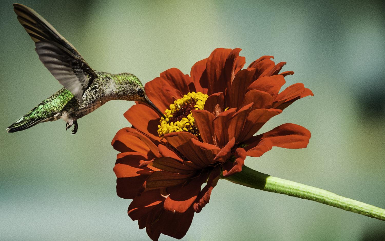 Anna's Hummingbird  Feeding on Zinnia -- My Backyard, San Jose, California