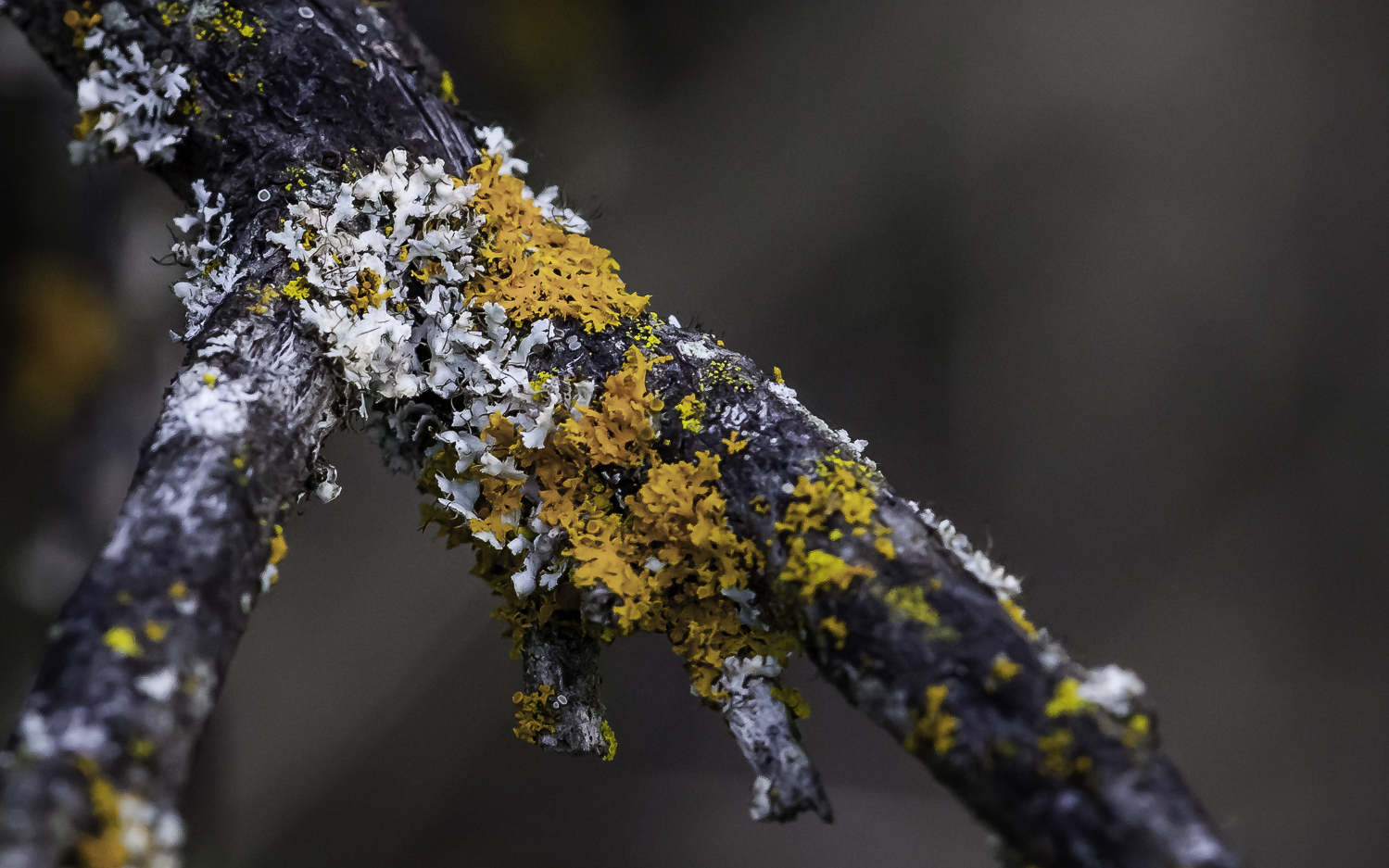 Orange and Pale-Green Lichen --Almaden Quicksilver Park, San Jose California