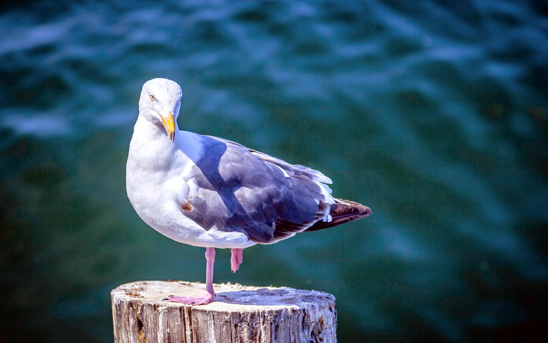Herring Gull on Pile -- Monterey California