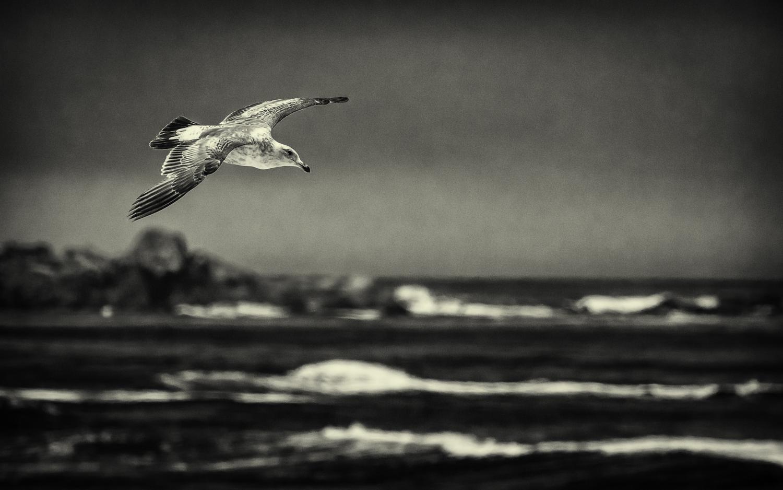 Juvenile Sea Gull Black & White -- Asilomar State Beach, Pacific Grove, California