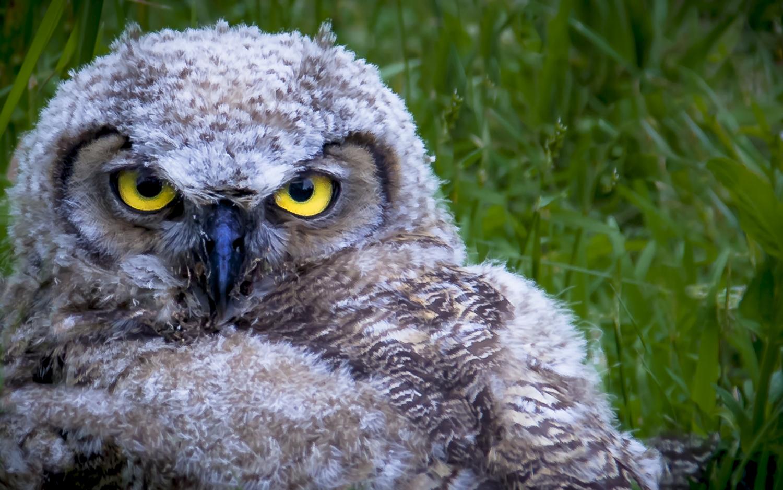 Coastal Great Horned Owl Fledgeling -- Ridgefield National Wildlife Refuge -- Ridgefield Washington