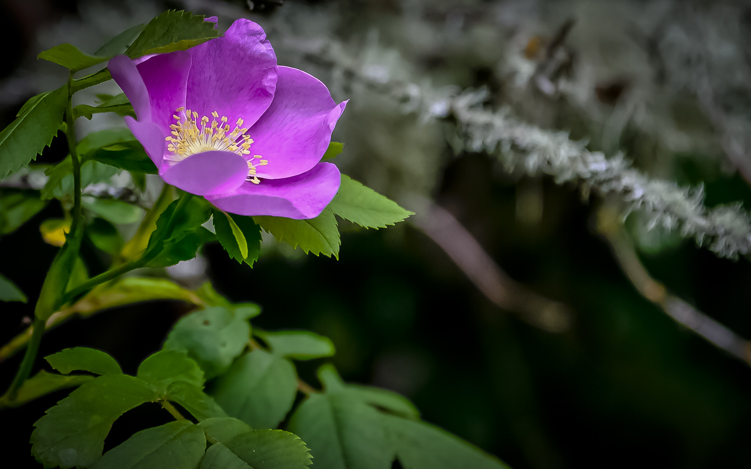 Wild Rose -- Ridgefield Wildlife Refuge, Ridgefield Washington