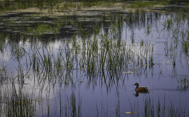 Wood Duck Cruises Across Rest Lake - Ridgefield Wildlife Refuge.jpg