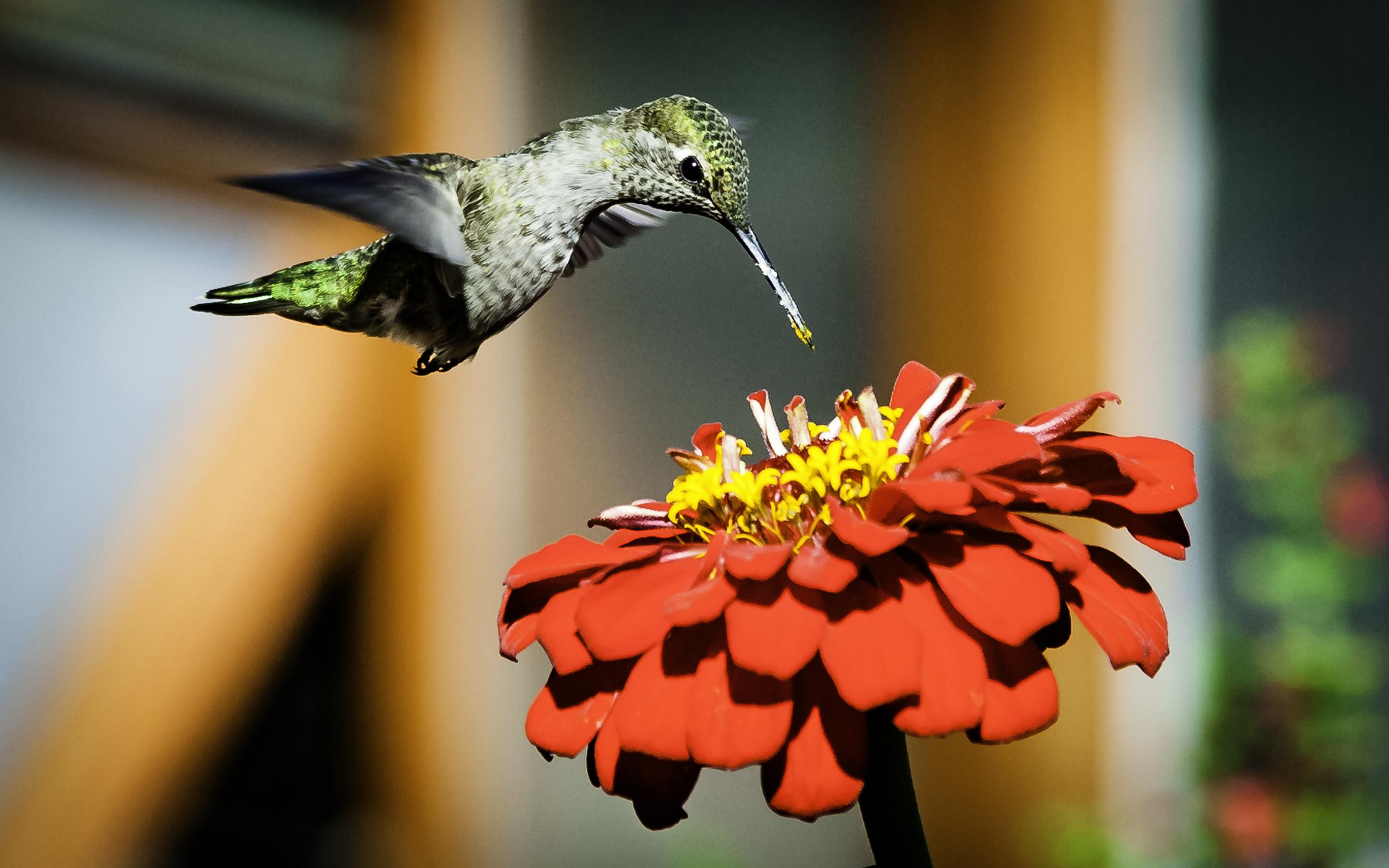 Anna's Hummingbird  Above Zinnia -- My Backyard, San Jose, California
