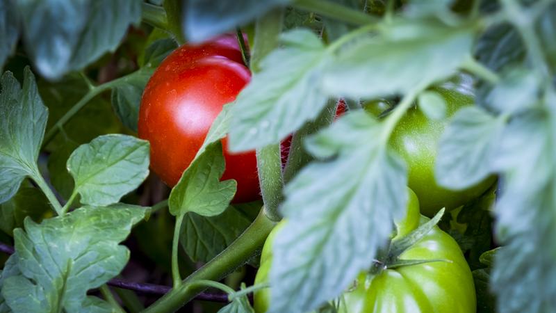 Tomatoes ripe and green-2.JPG