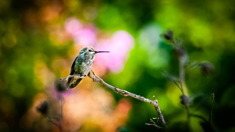 Female Annas Humming bird outside L139.jpg
