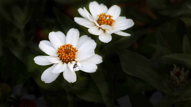 Fly on Flower.JPG
