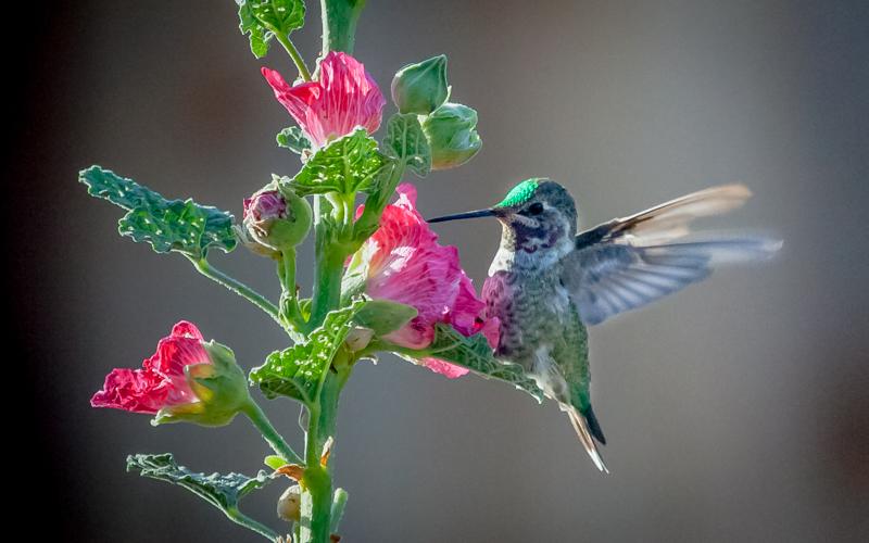 Annas Hummingbird On Hollyhock_.jpg