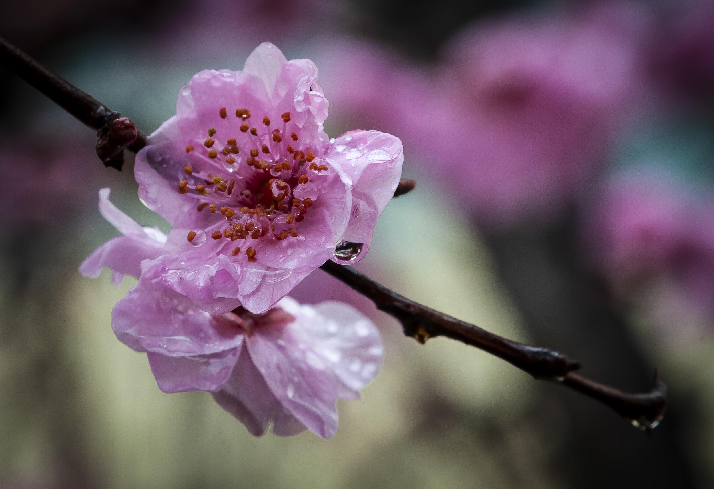 Flowering Plum.jpg