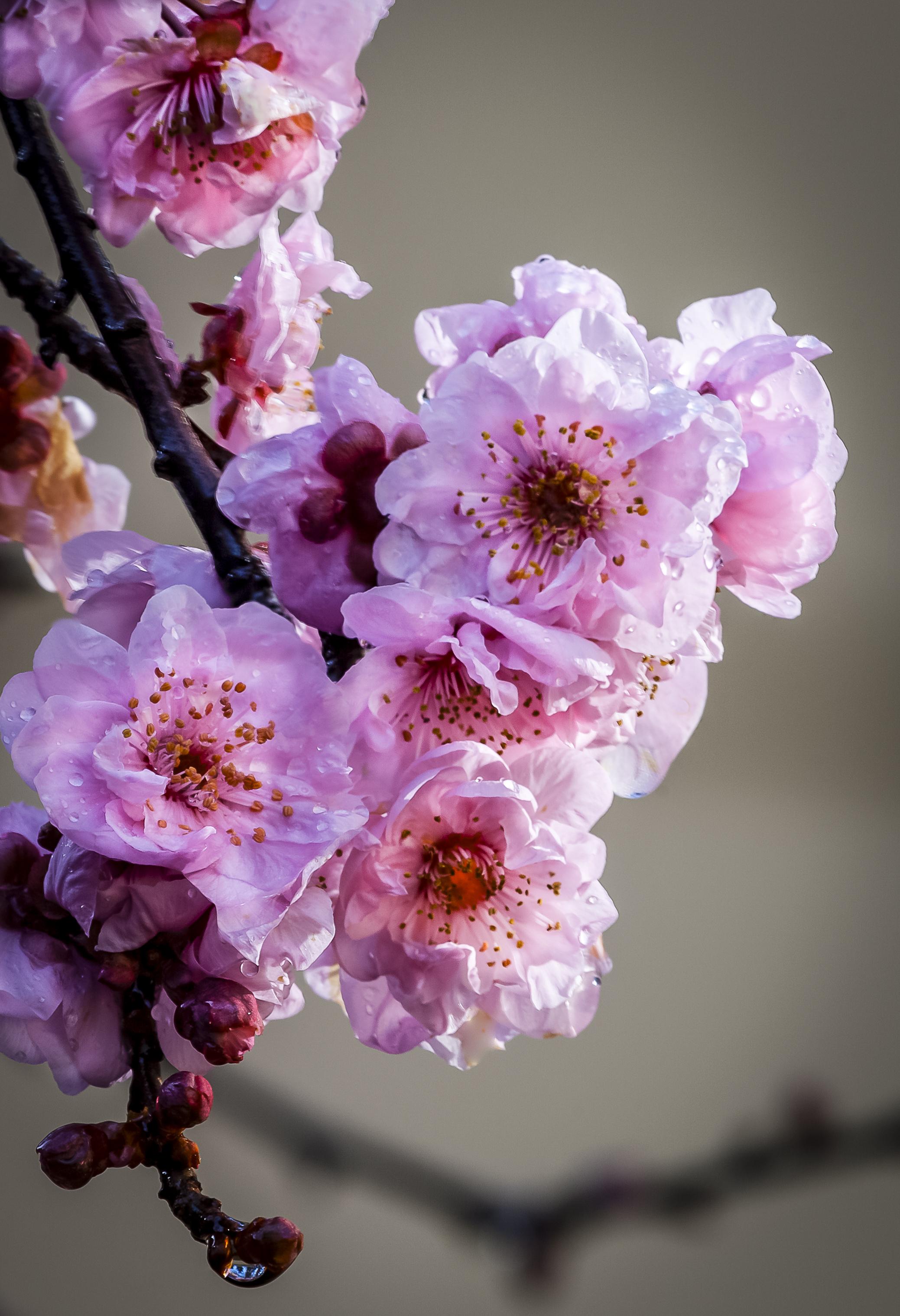 Flowering Plum-2.jpg