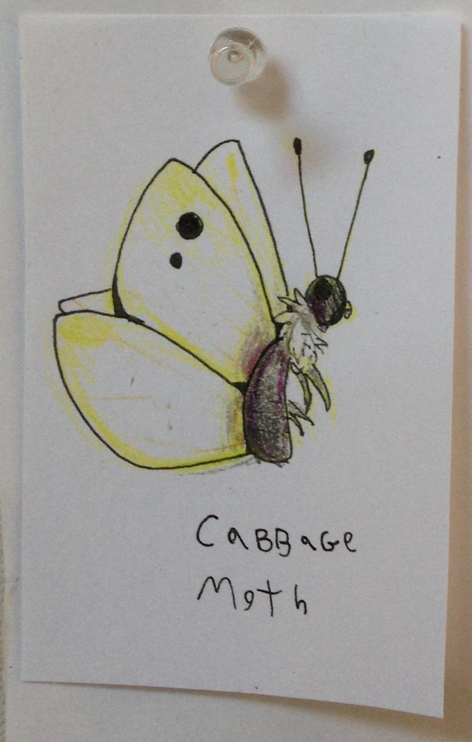 Cabbage Moth mk.jpg
