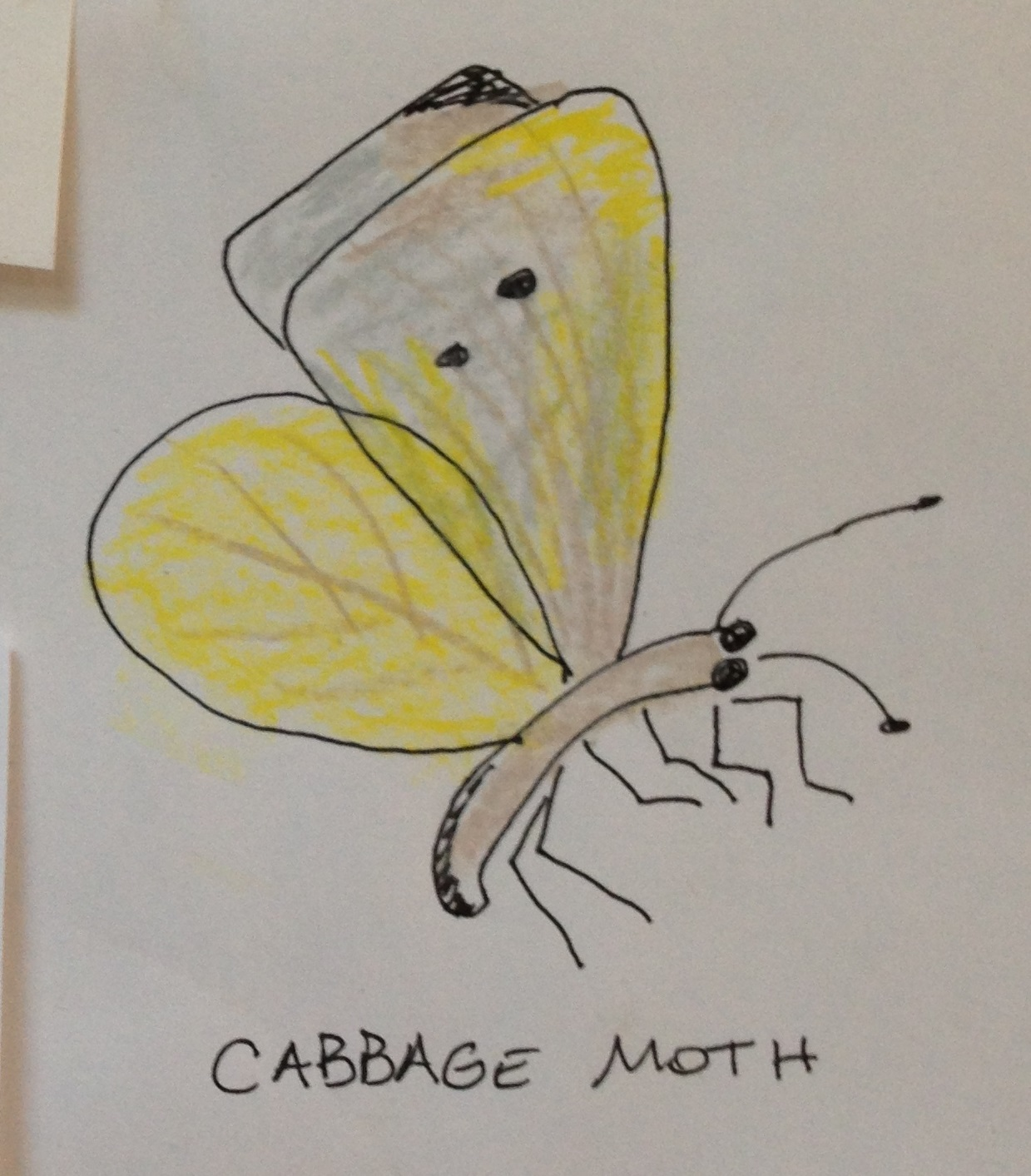 Cabbage Moth adb.jpg