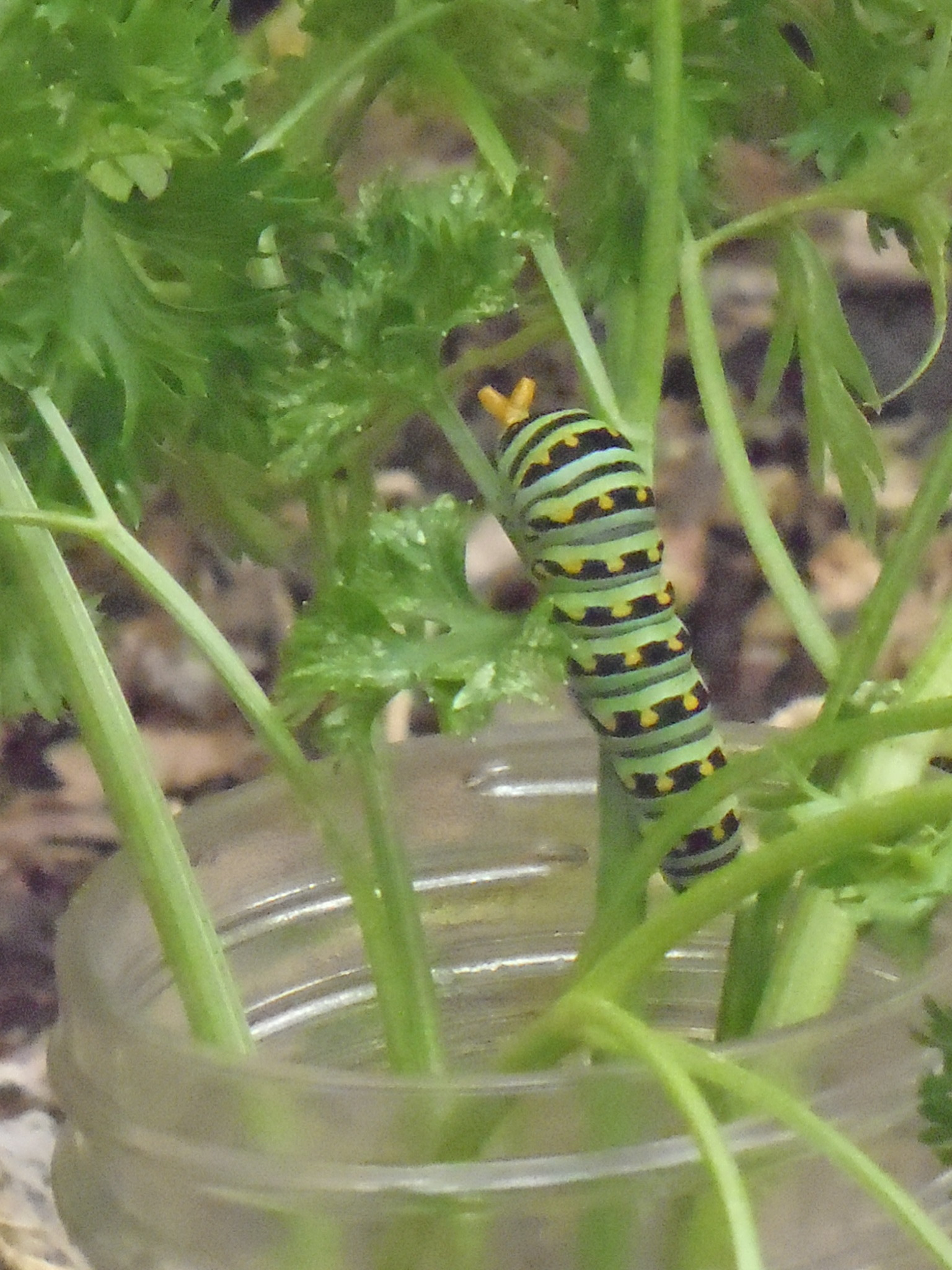 Swallowtail Caterpiller1.JPG