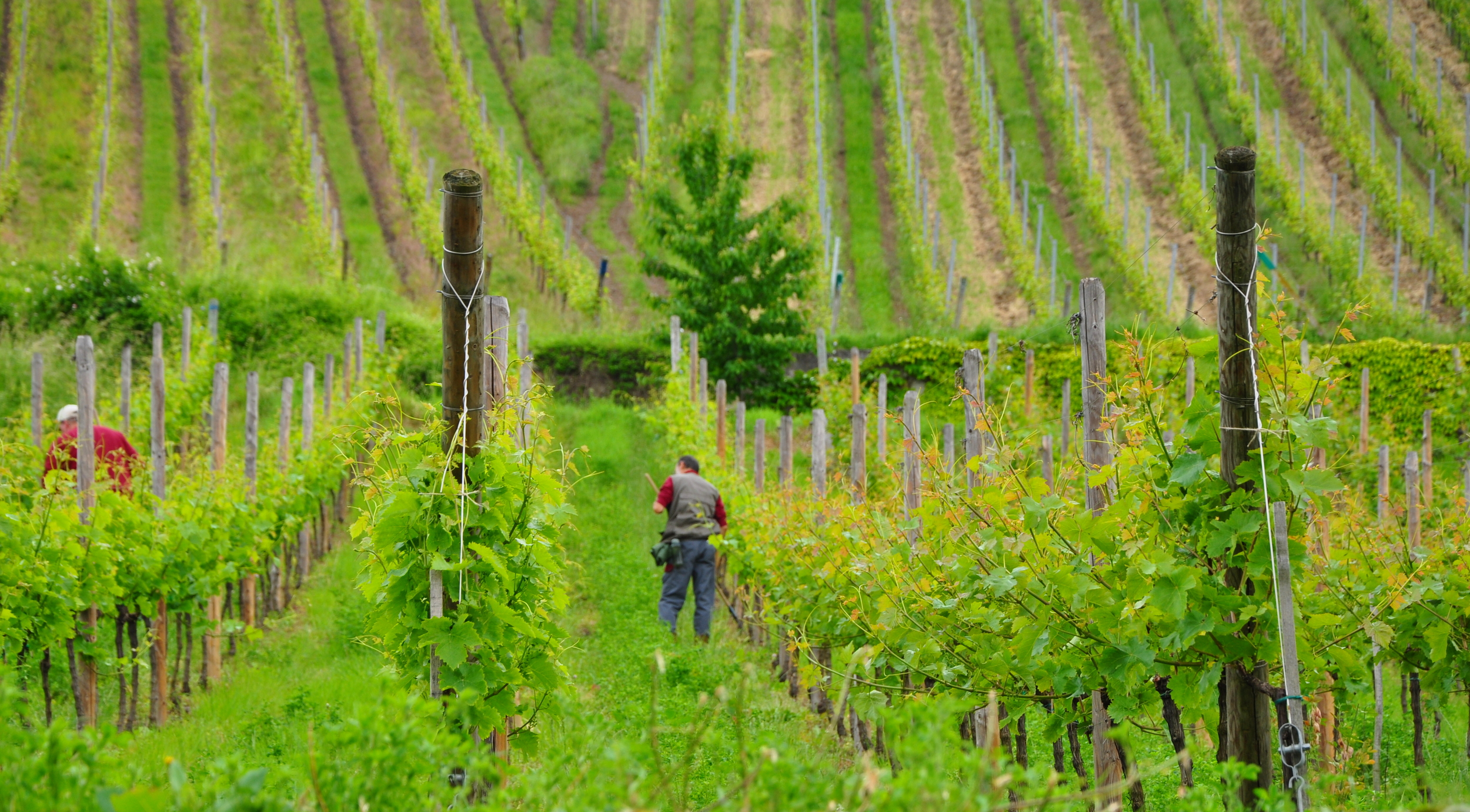 Vineyard in Riquewihr  ©Copyright 2015 Bridget Barnes