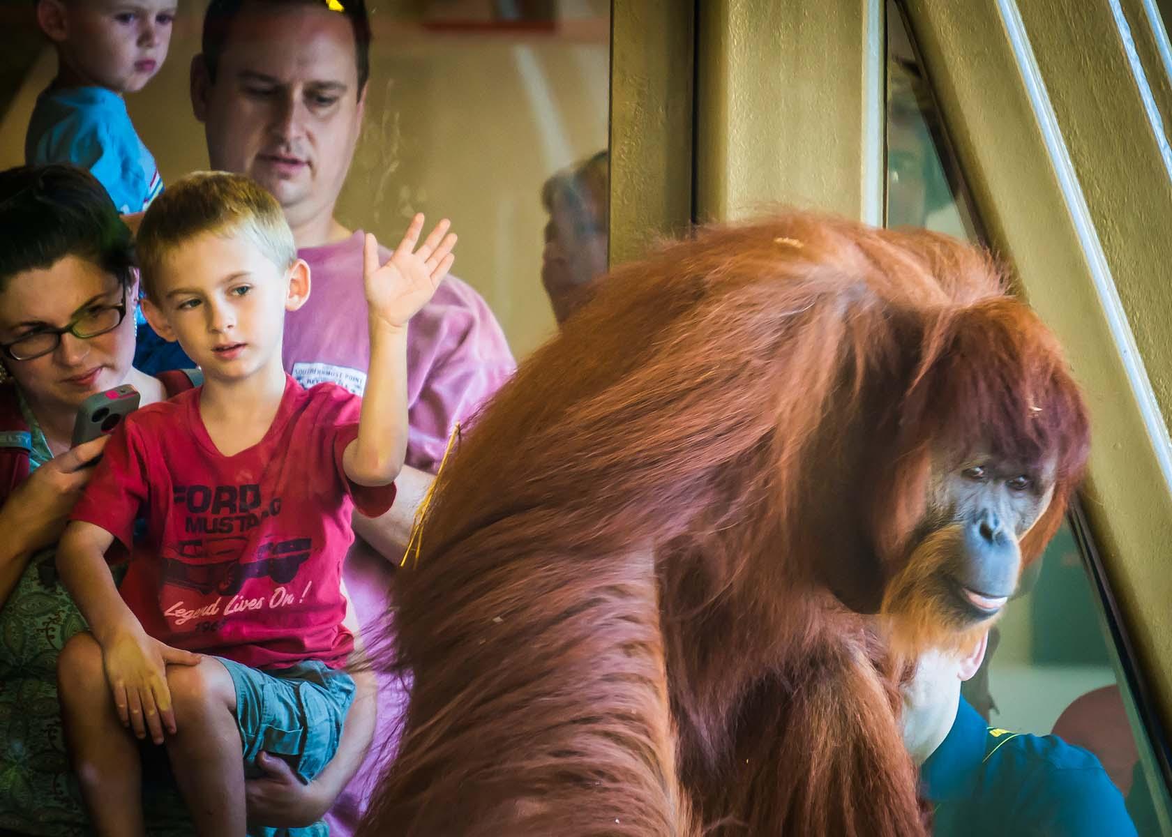 Orangutans -Visitors admire Rocky-03155 - Copy.jpg