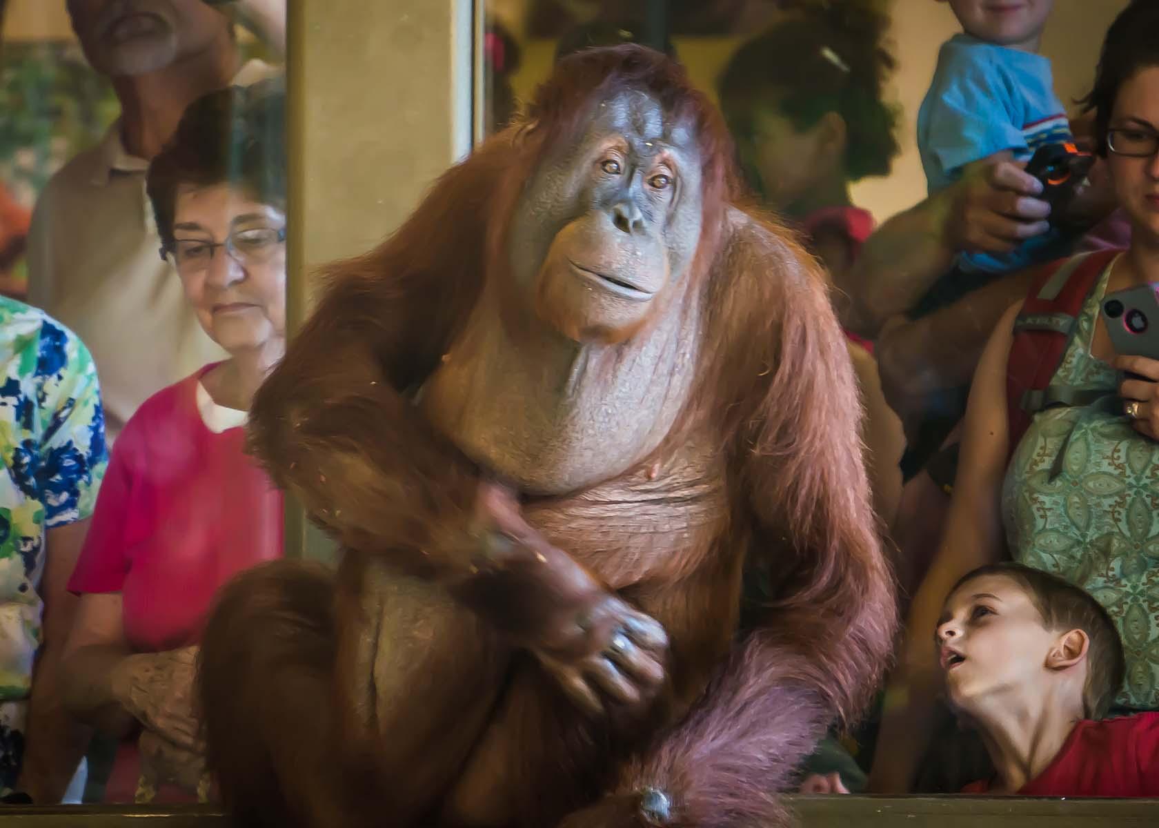 Orangutans -Visitors admire Rocky 2-03158 - Copy.jpg