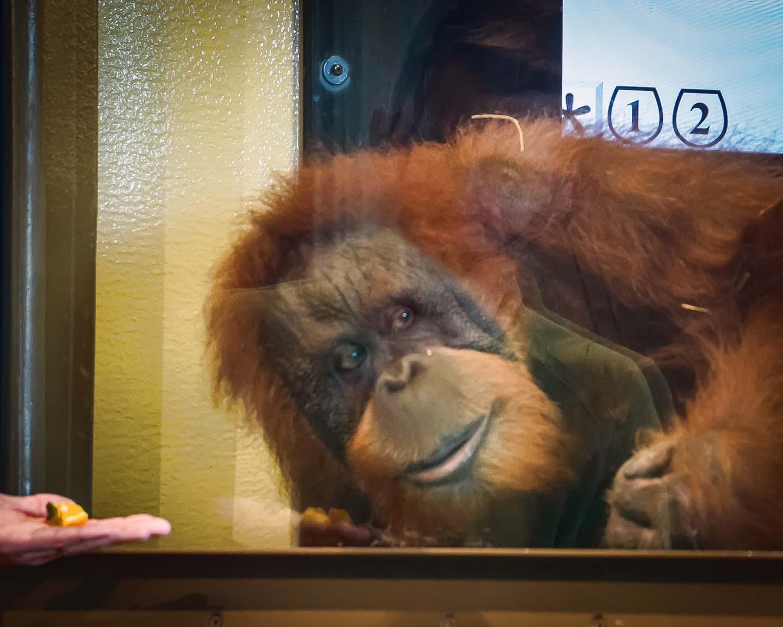 Orangutans -Knobi in Learning Lab-adj 03368.jpg